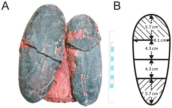 Algunos de los huevos de dinosaurio fosilizados que se estudiaron. (jasminawiemann.com)