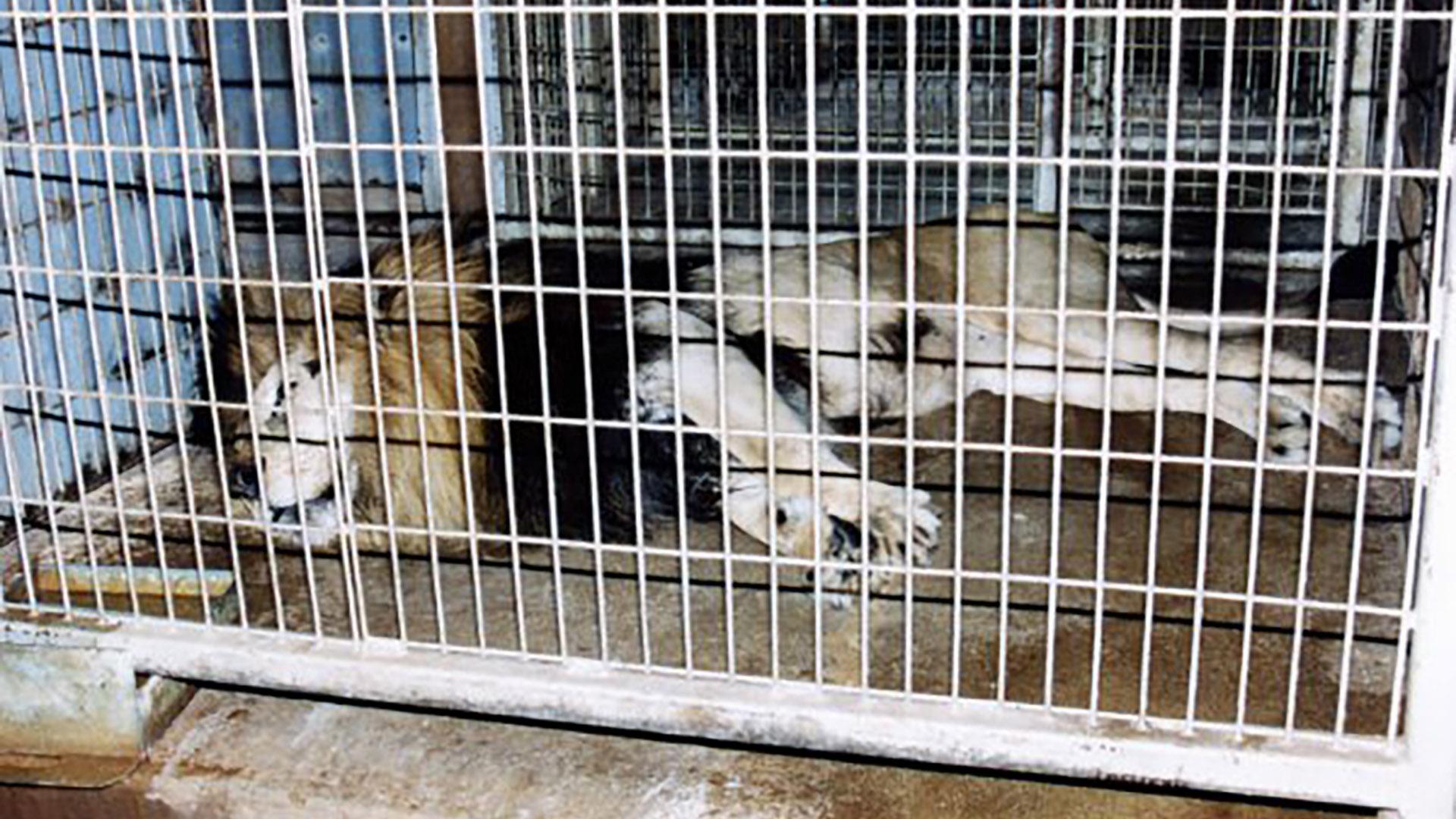 Un león enjaulado en un circo (Peta)