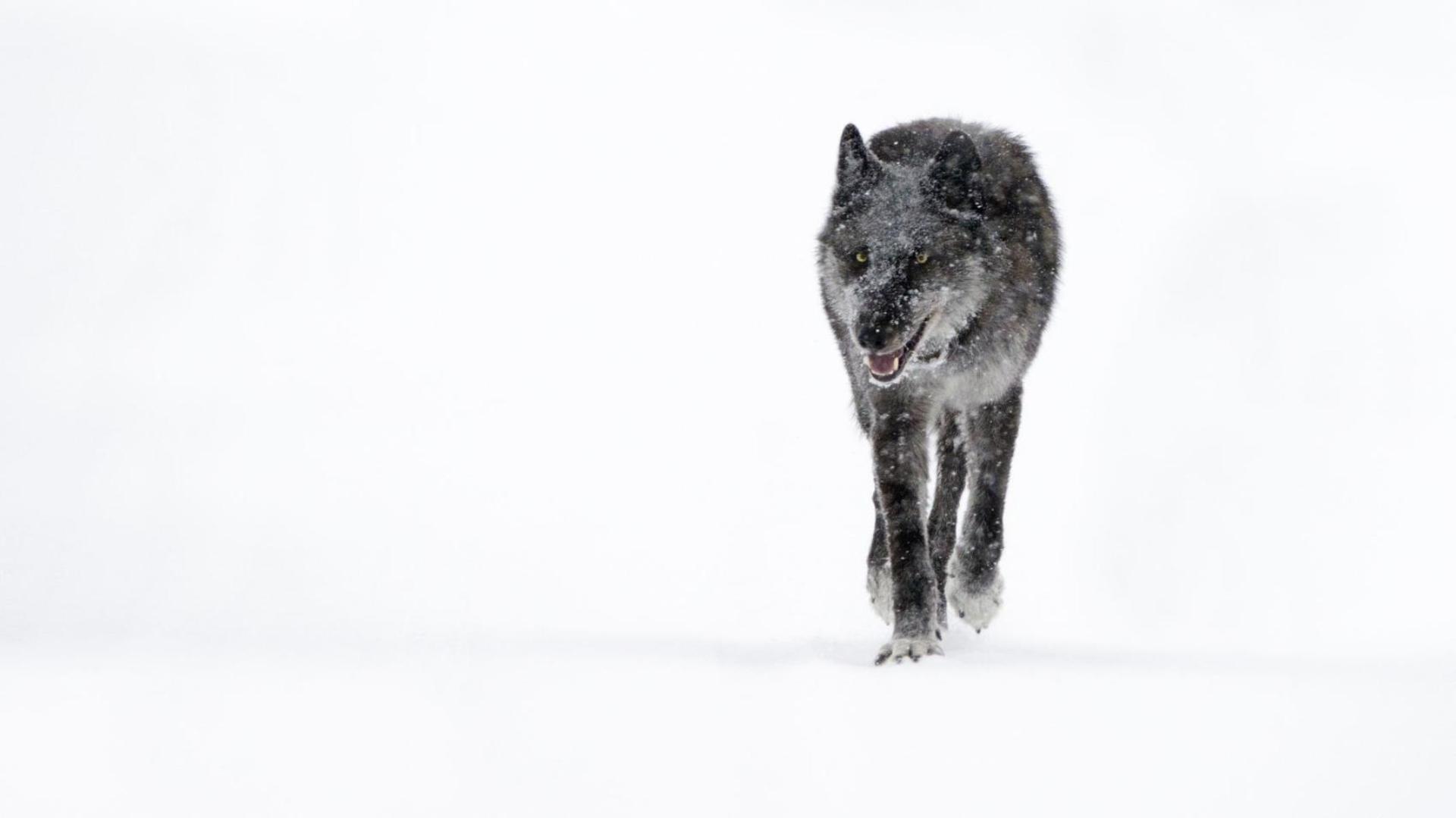 La loba que fue asesinada en Yellowstone (Foto: Facebook Jackson Hole News&Guide)
