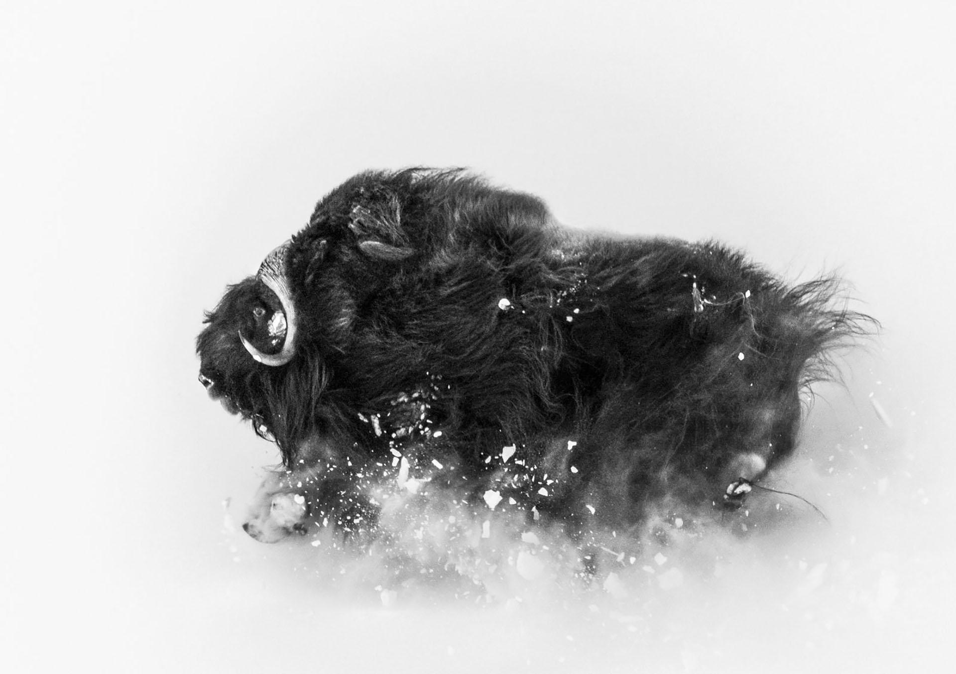 Dos bueyes en Groenlandia