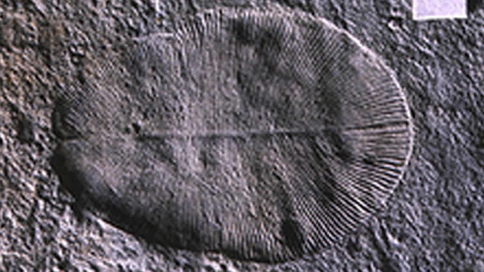 El animal más antiguo de la Tierra, llamado Dickinsonia, que vivió hace 500.000 millones de años