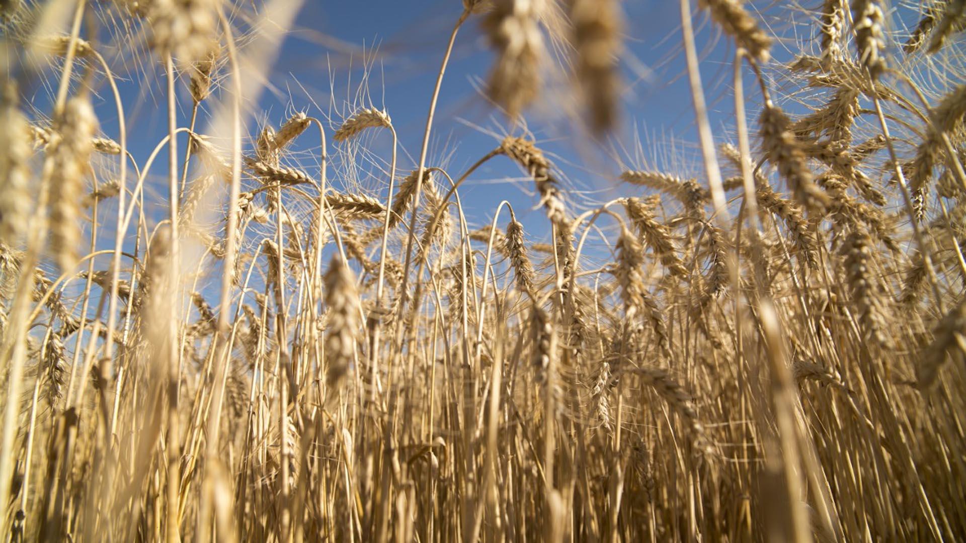 En el trigo hubo oportunidades en el mercado que permitieron capturar valores de USD 260