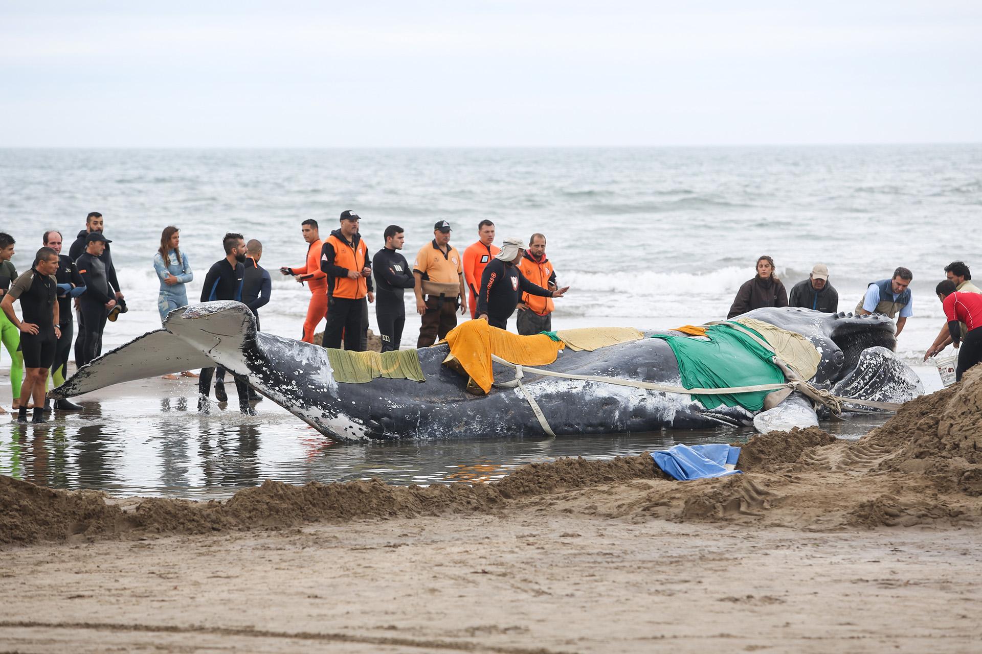 Ballena encallada en las playas de Mar del Plata (Christian Heit)