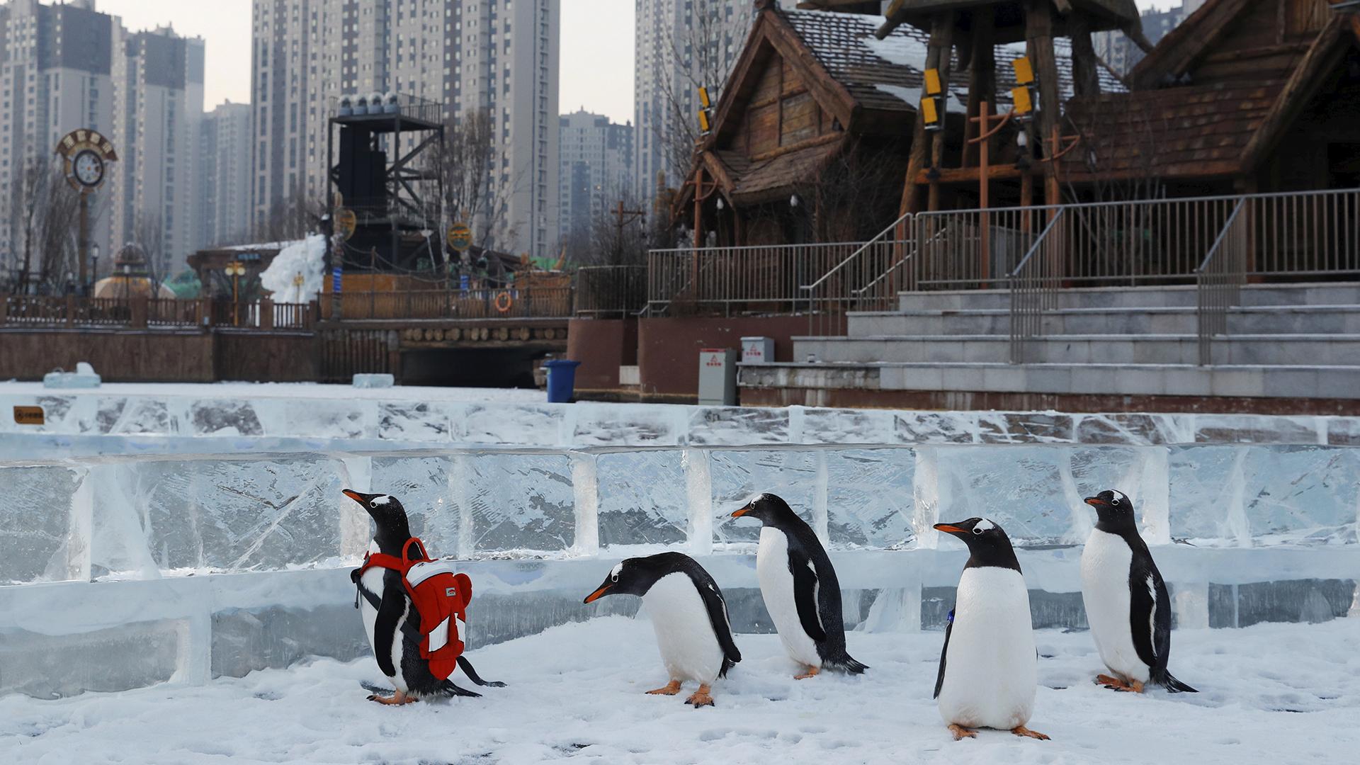 Pingüinos en el festival de hielo de Harbin