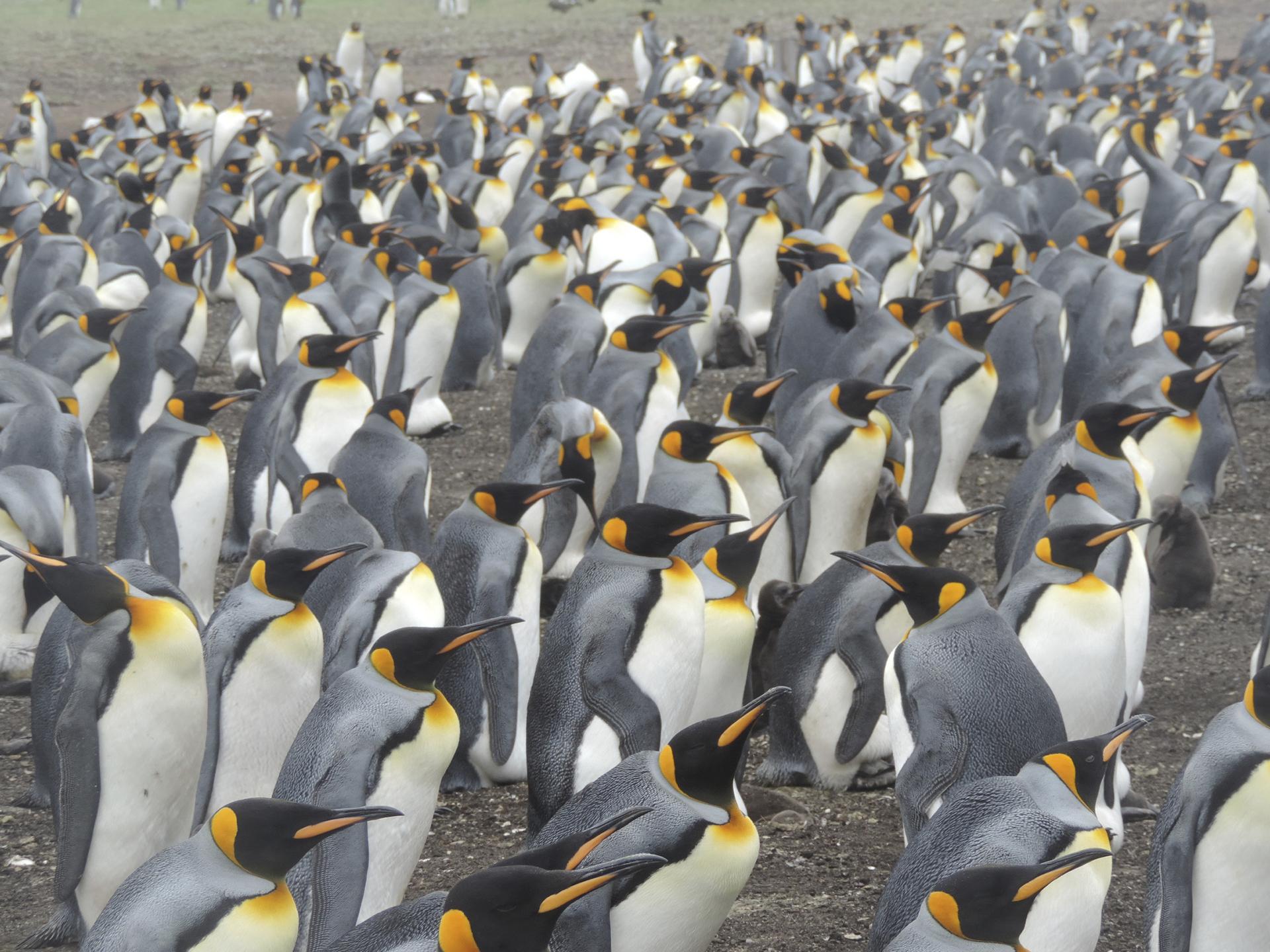 Las pingüineras son una excursión ineludible, con una amplitud y profusión de especies, además de un acercamiento único