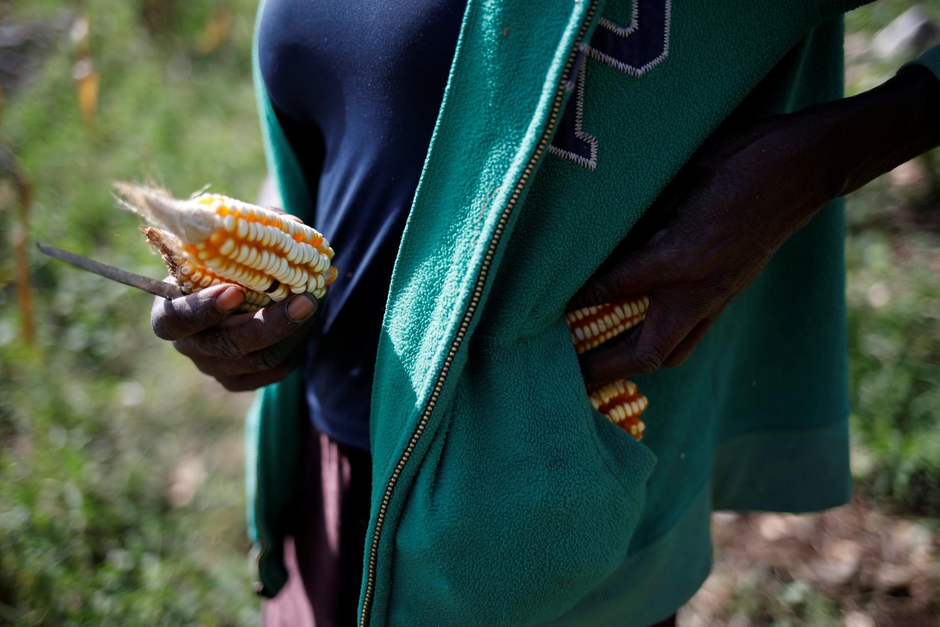 Una mujer pone mazorcas en sus bolsillos mientras cosecha maíz en un campo en Boucan Ferdinand, Haití, 2 de octubre de 2018.