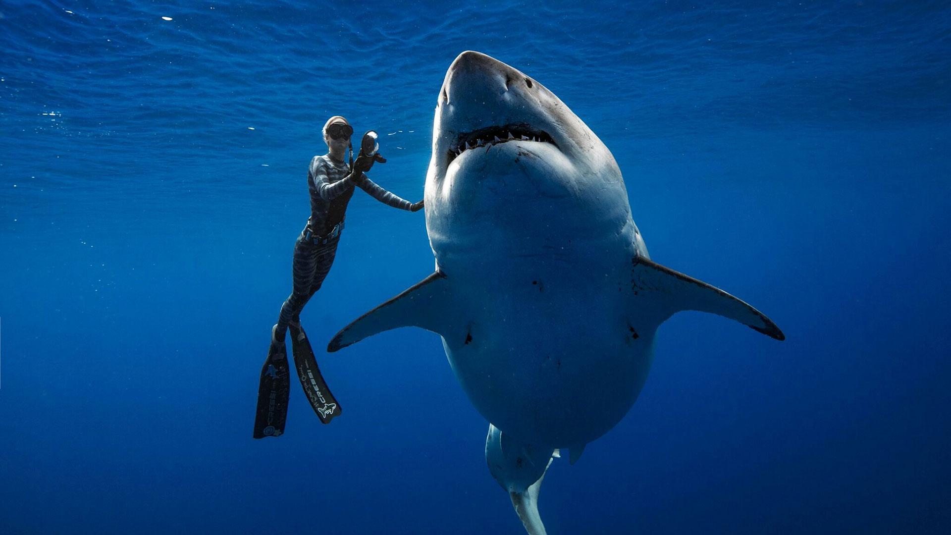 Deep Blue fue vista a 30 kilómetros de la costa de Oahu (Hawaii), mientras devoraba los restos de un cachalote