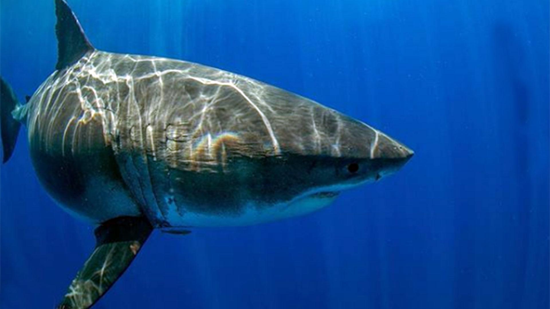La última vez que la tiburón fue retratada ocurrió en julio de 2013, cerca a la Isla de Guadalupe (México), aunque en aquella oportunidad los buzos estaban protegidos por una celda