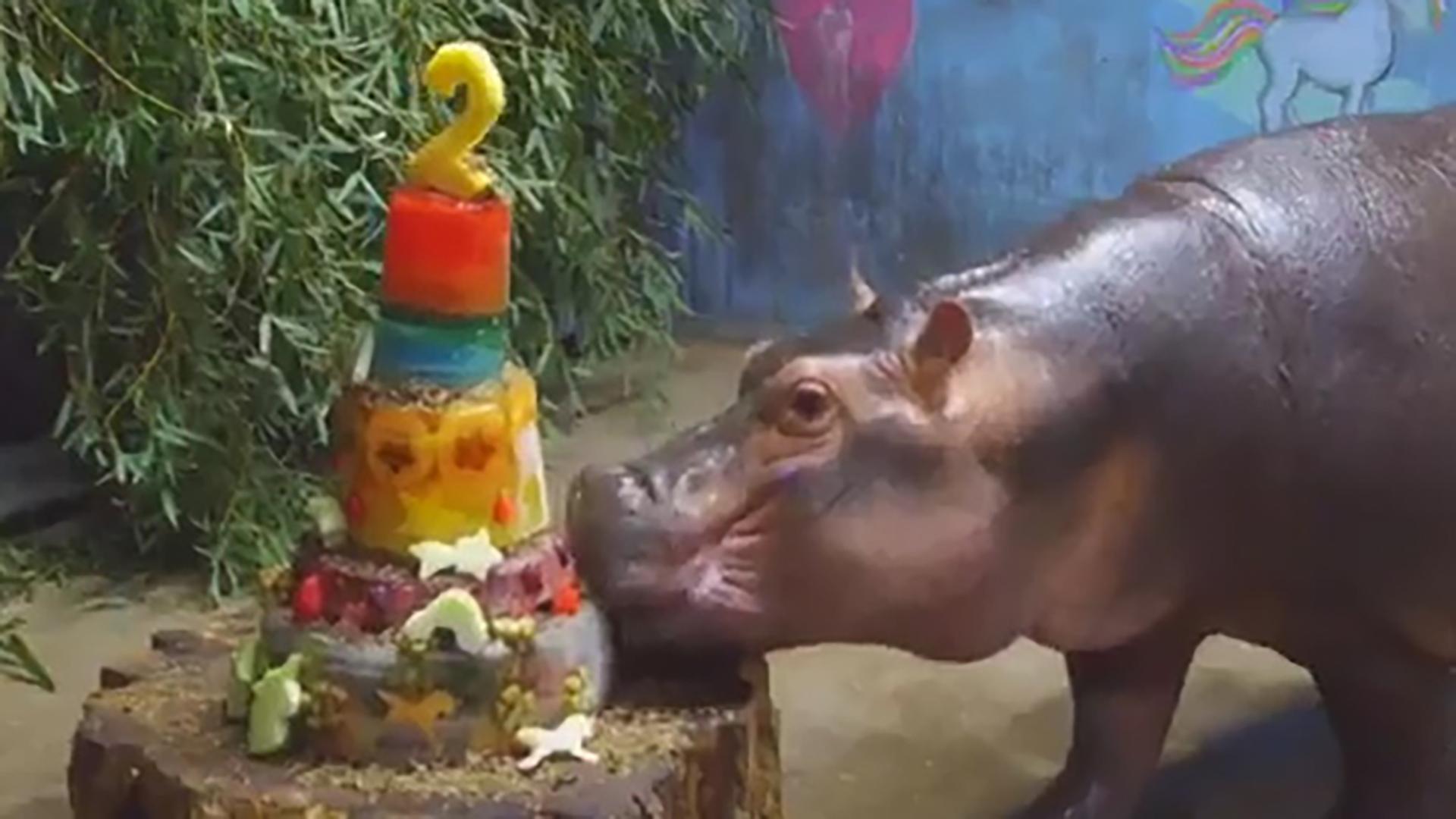 La tarta está hecha con alimento especial para los hipopótamos y es de varios pisos (Foto: Captura de pantalla)
