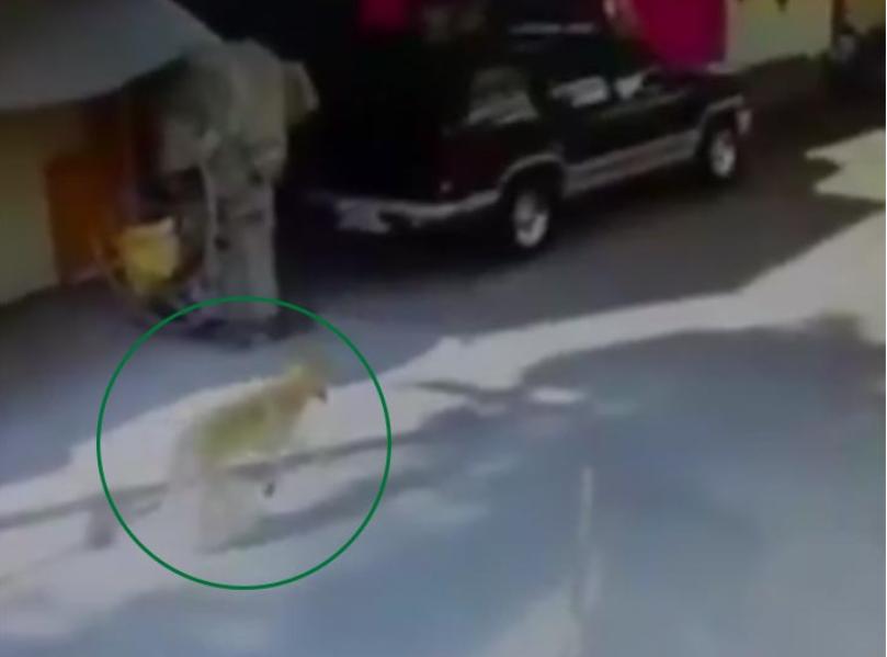 A finales de enero vecinos de San Juan de Aragón alertaron la presencia de un lobo en su comunidad (Foto: especial)