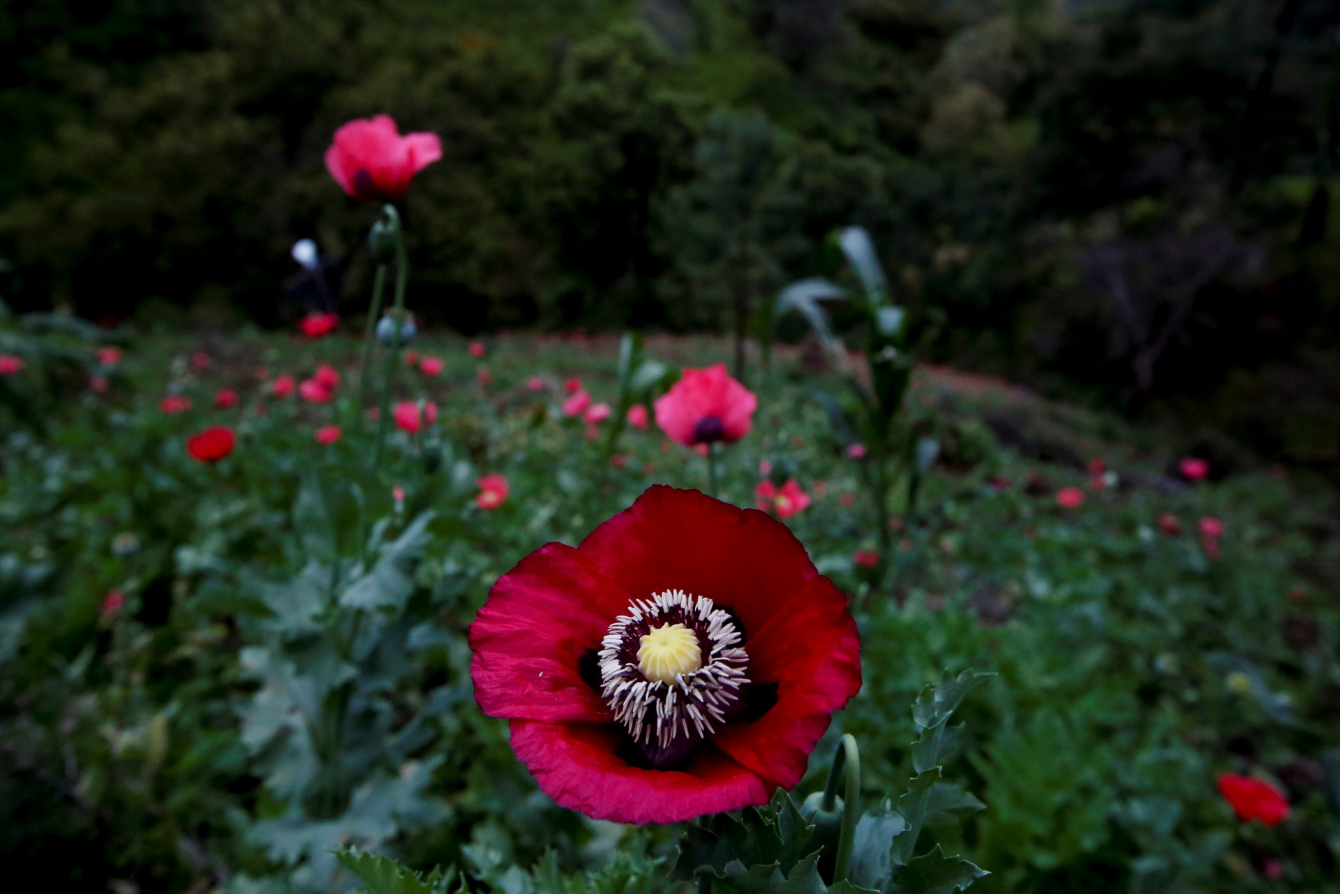 The flower of an opium poppy is seen in a field in Pueblo Viejo in the Sierra Madre del Sur, in the southern state of Guerrero, Mexico, August 25, 2018.