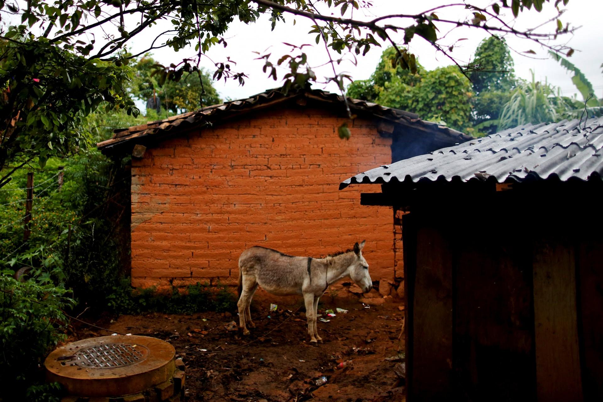 Un burro se para frente a la casa de un residente local en Juquila Yucucani, en la Sierra Madre del Sur, en el estado sureño de Guerrero, México, 17 de agosto de 2018.