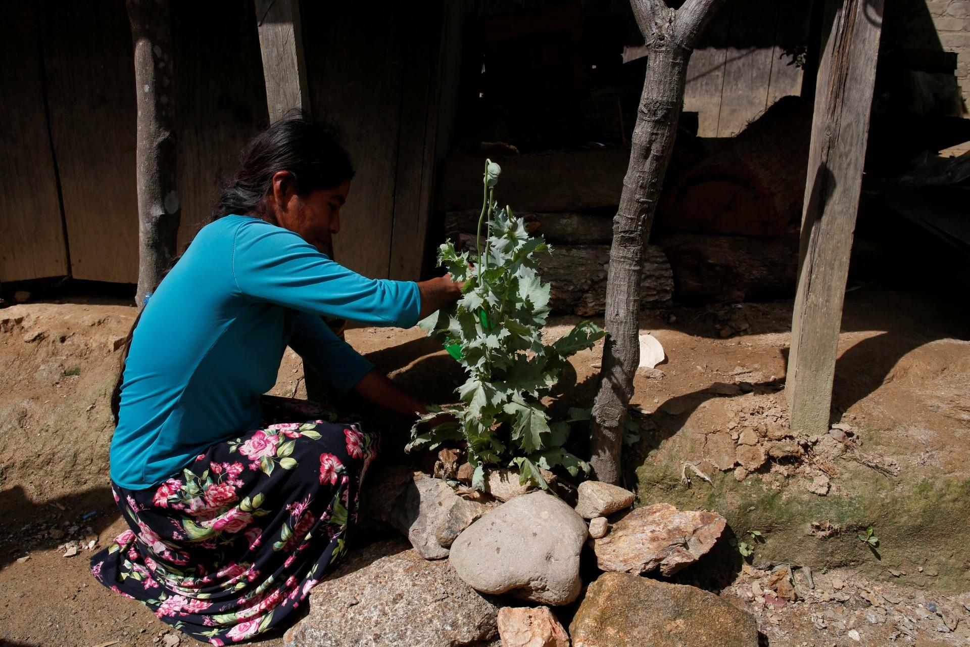 Una mujer atiende su planta de adormidera afuera de su casa en Juquila Yucucani, en la Sierra Madre del Sur, en el estado sureño de Guerrero, México, 18 de agosto de 2018.