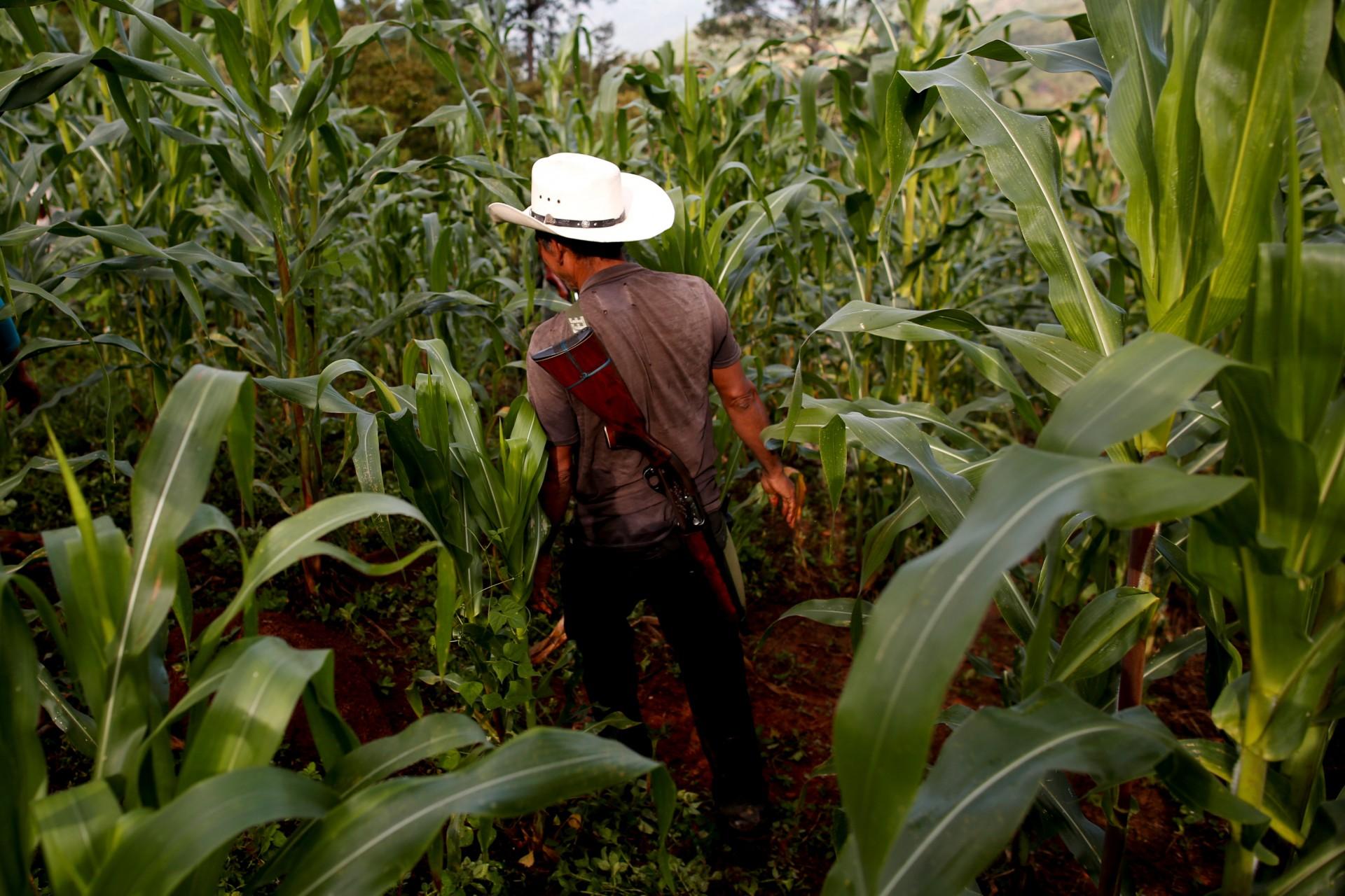 El agricultor de adormidera Francisco Santiago Clemente camina con su arma en la espalda en un campo de maíz en Juquila Yucucani en la Sierra Madre del Sur, en el estado sureño de Guerrero, México, 18 de agosto de 2018.