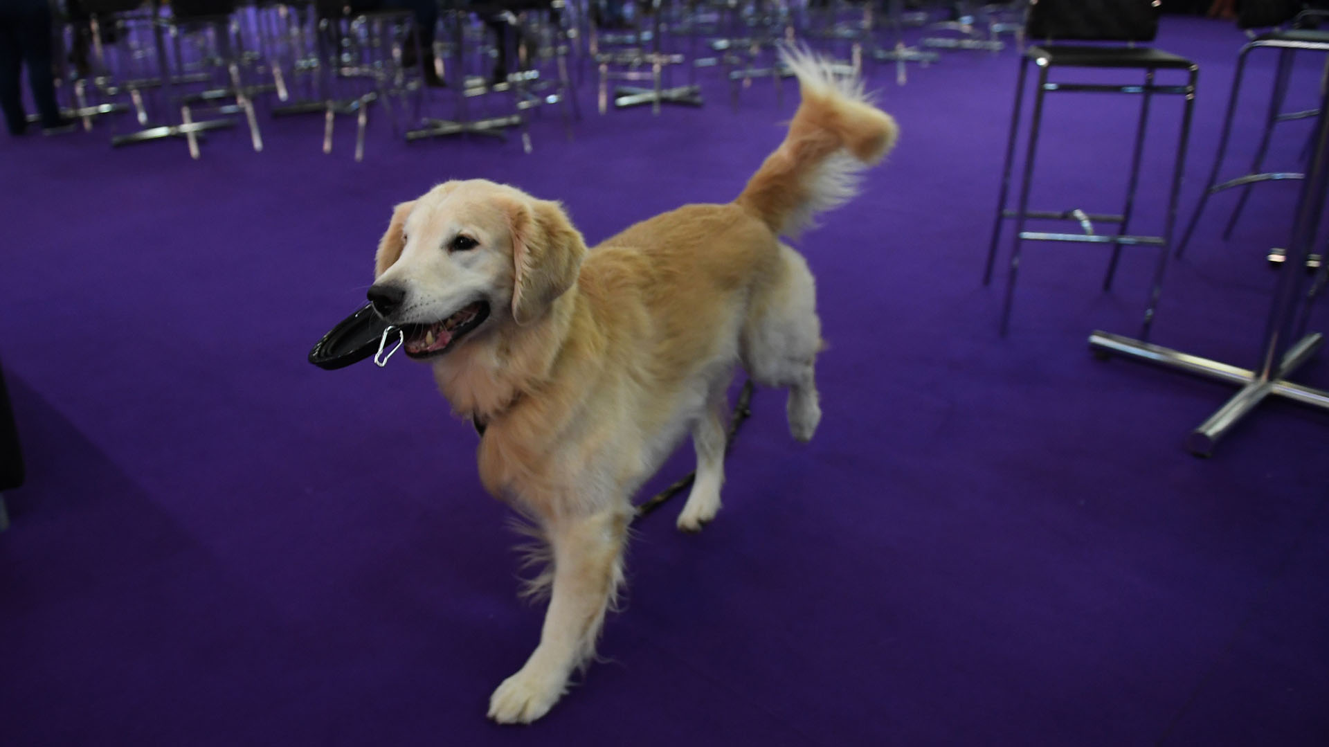 A Golden Retriever waits to competes in the 6th Annual Masters Agility Championship as the The American Kennel Club and Westminster Kennel Club present Meet & Compete on February 9, 2019, at Piers 92 and 94 in New York. (Photo by TIMOTHY A. CLARY / AFP)