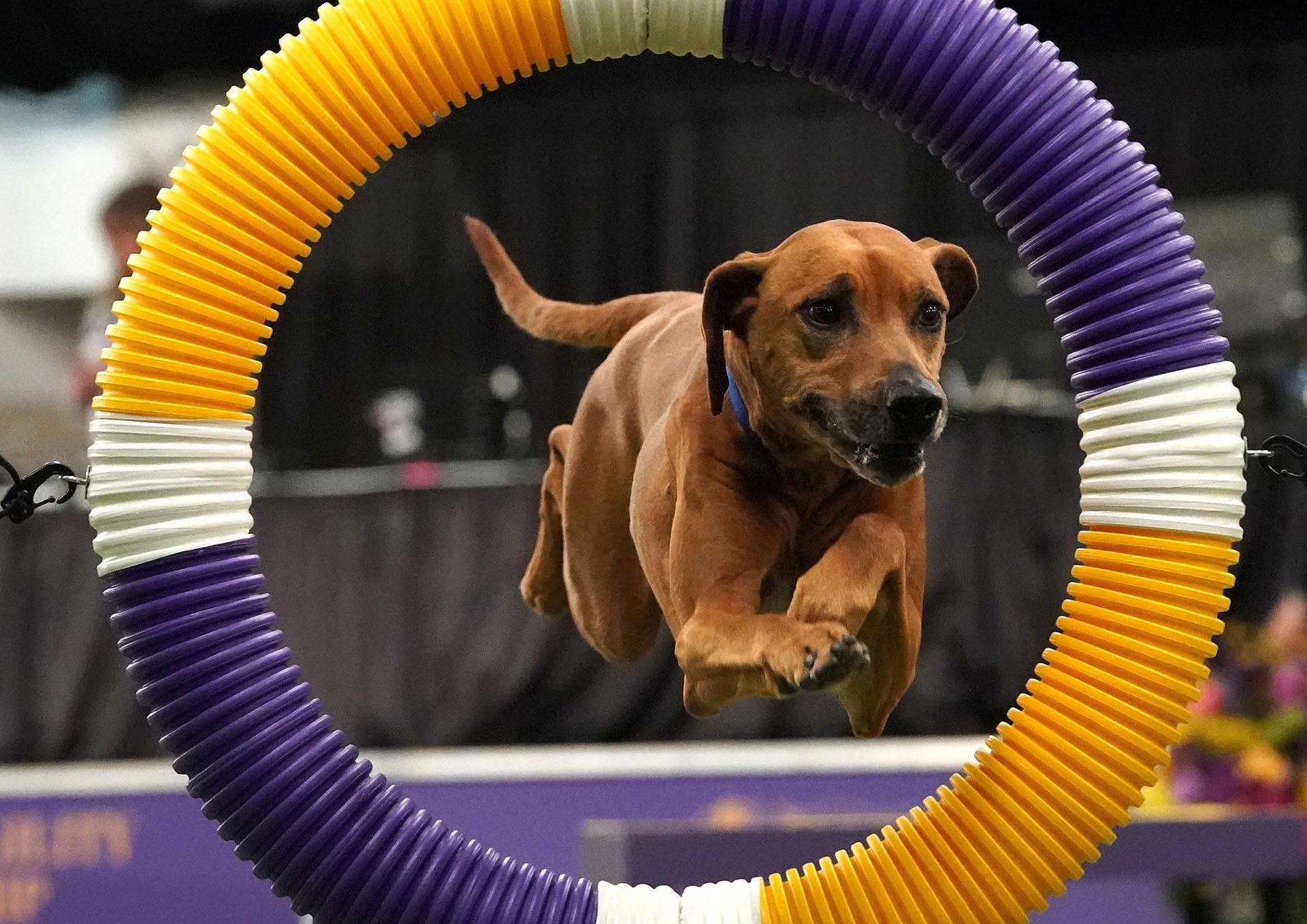 Un perro salta en la competencia de agilidad del Kennel Club