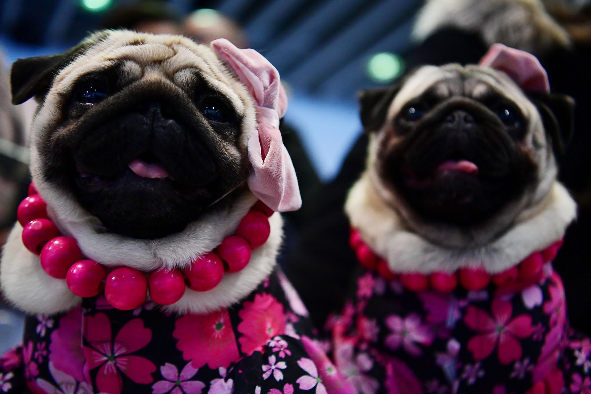 """Perros pugs apodados """"Los Pugdashians"""", en referencia a las famosas socialité"""