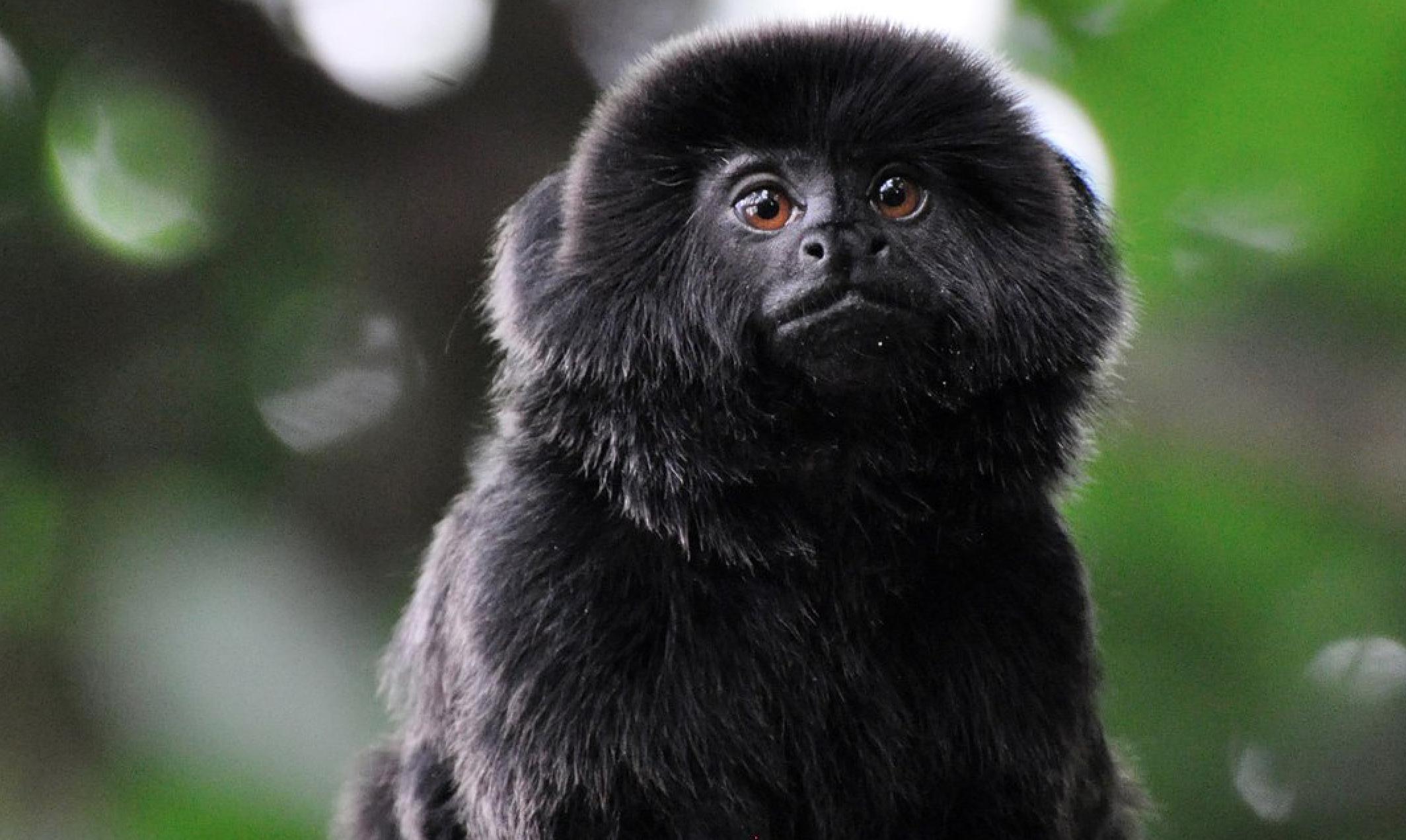 Robaron un mono tití amazónico valuado en 10 000 dólares del