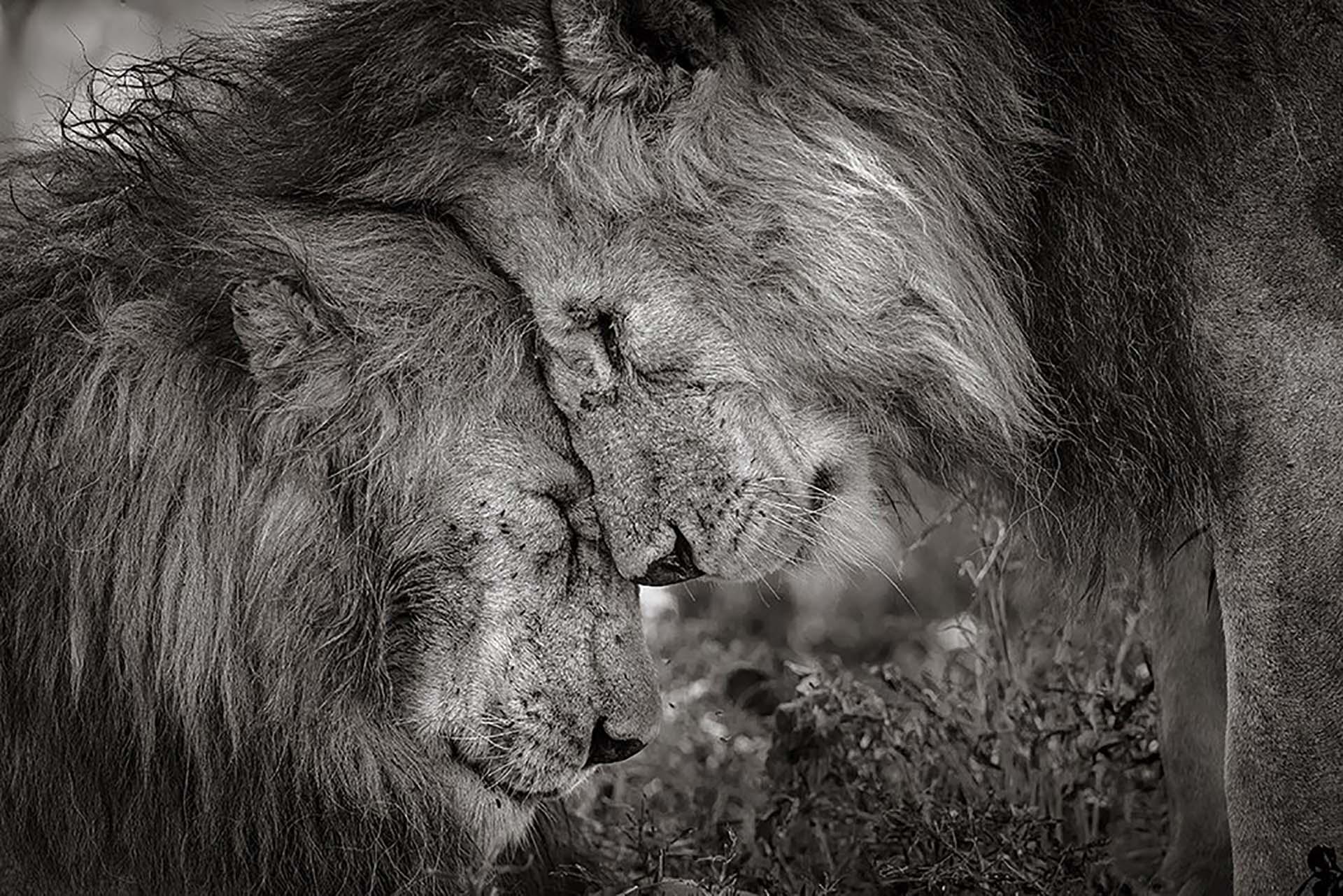 'Vínculo de hermanos': Dos leones machos adultos se saludan frotando sus caras. La fotografía fue tomada en Tanzania por David Lloyd