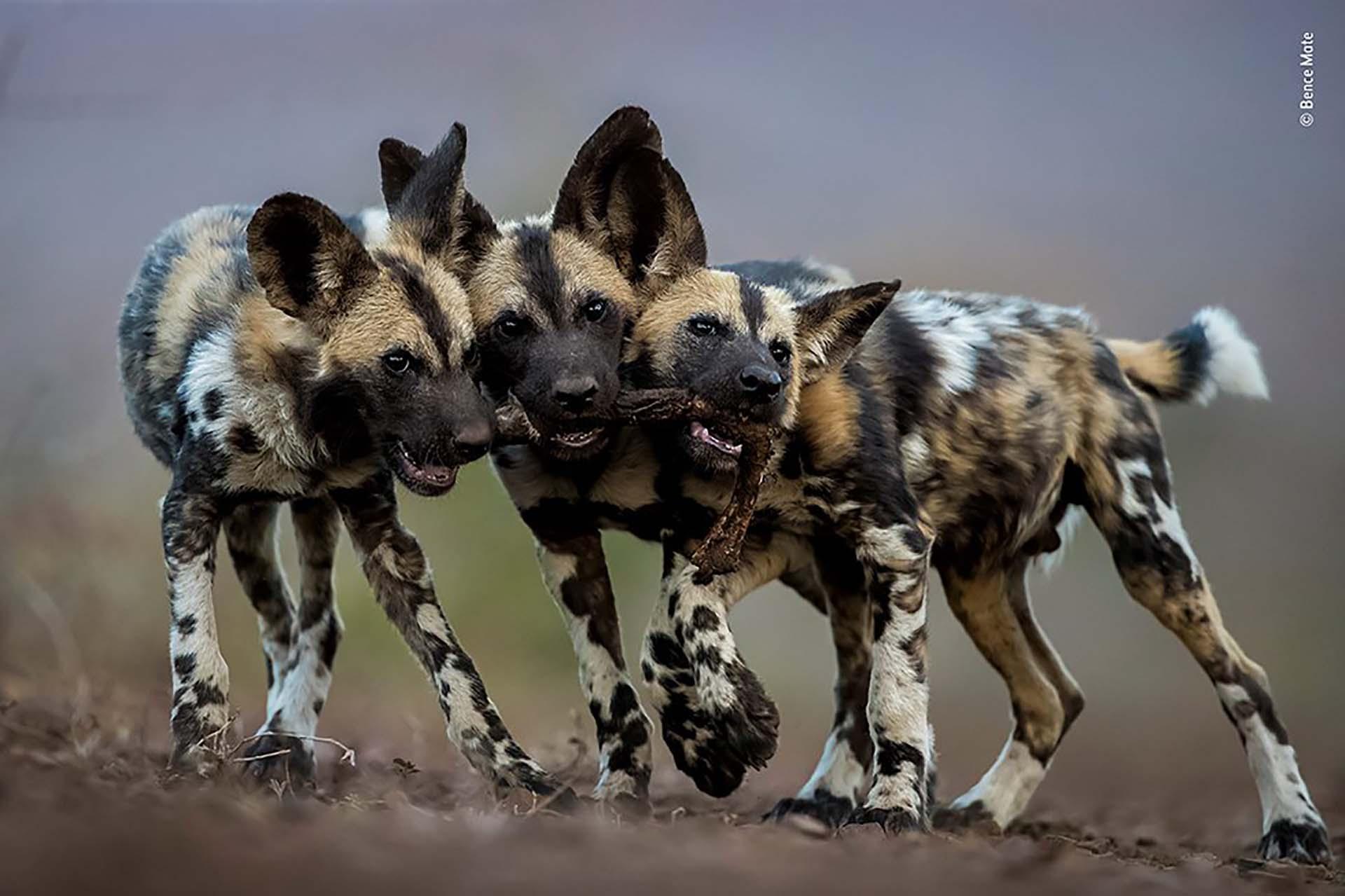 'Un juguete, tres perros': A pesar de que los perros salvajes adultos africanos son asesinos despiadados, sus cachorros son muy juguetones. Bence Mate fotografió a estos hermanos en Sudáfrica