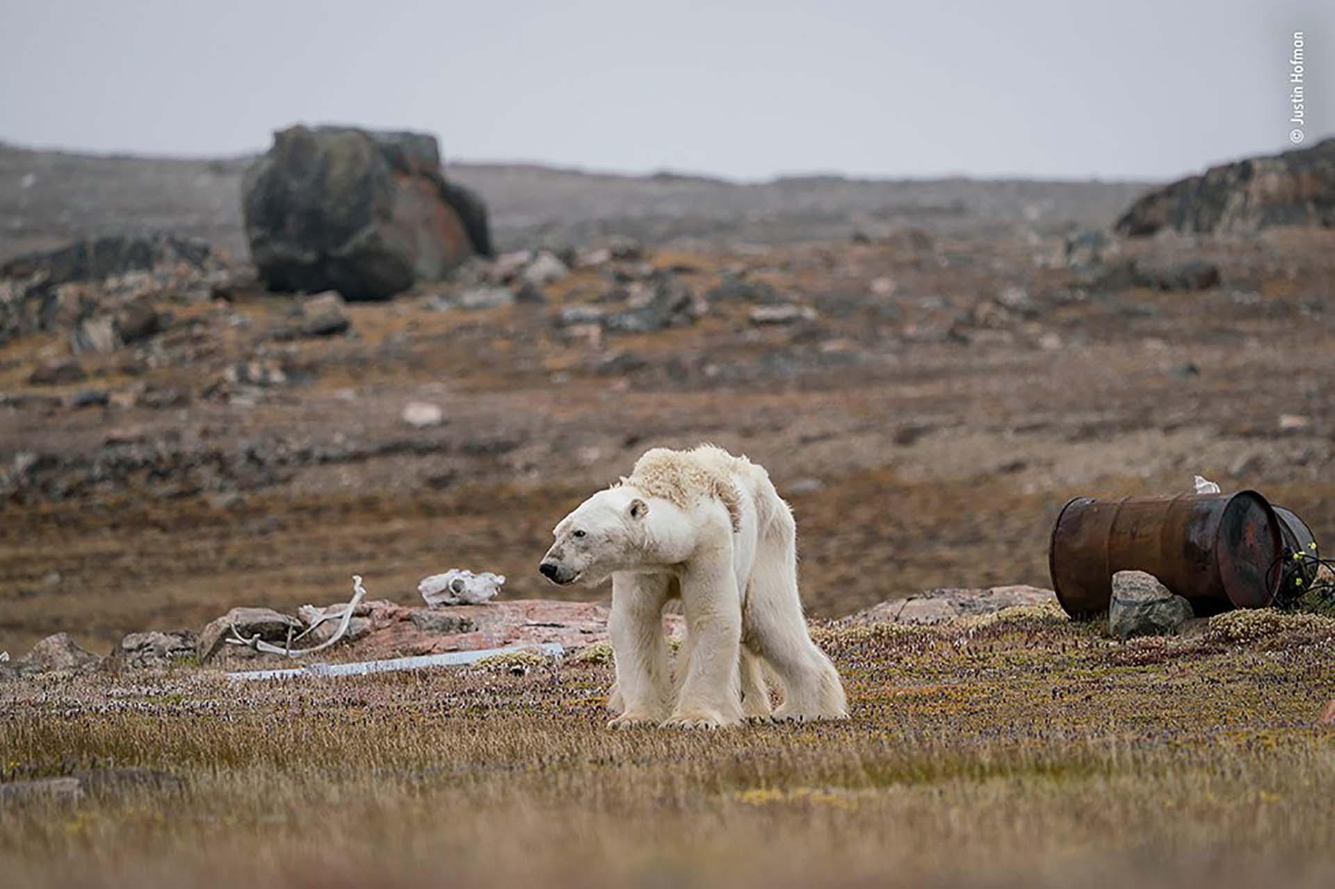 'La lucha de un oso polar': Un oso polar hambriento en un campamento de cazadores abandonado, en el Ártico canadiense, se pone de pie con esfuerzo. La imagen es de Justin Hofman