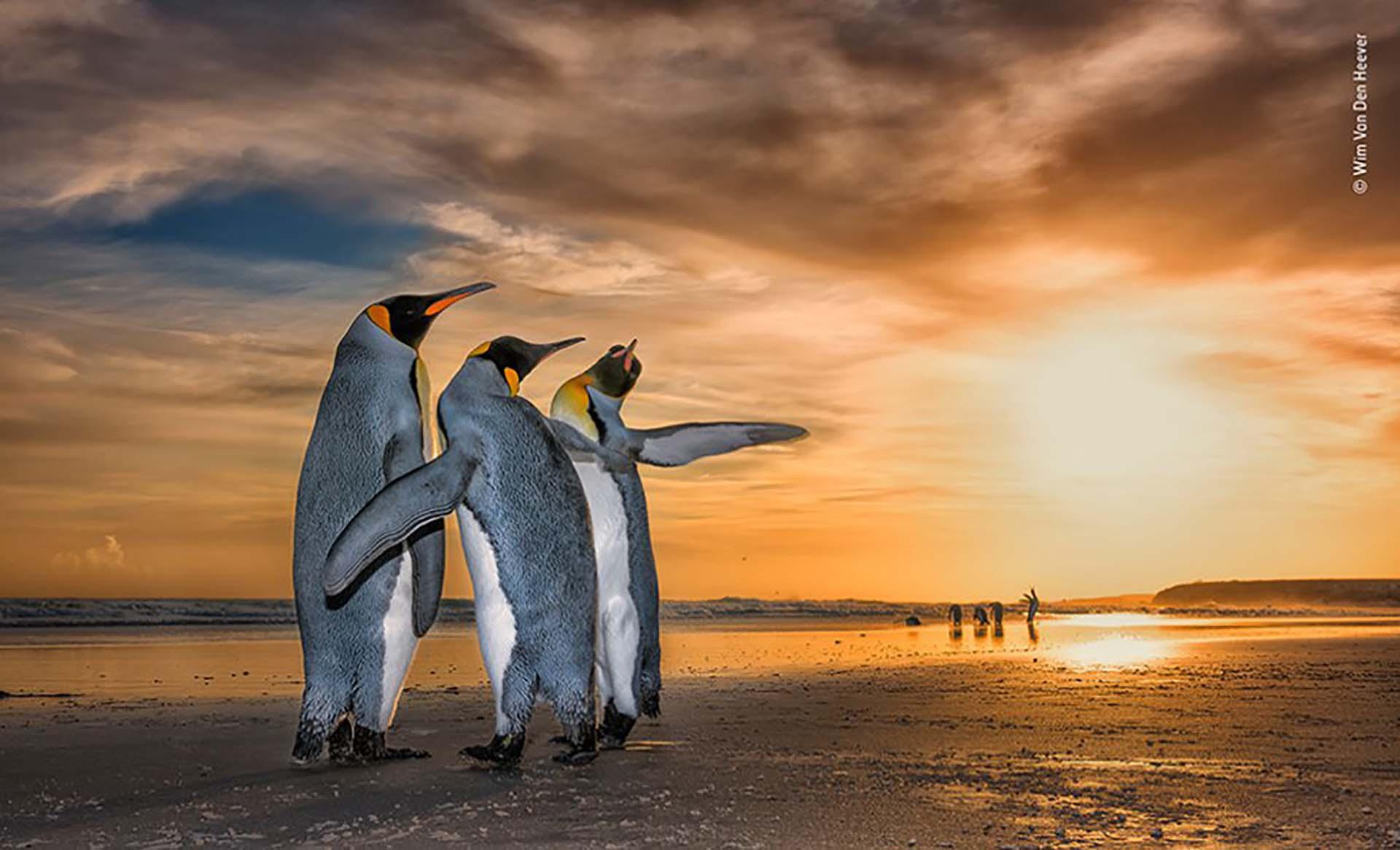 'Tres reyes': Wim Von Den Heever se encontró con estos pingüinos rey en una playa en las Islas Malvinas al amanecer. Estaban atrapados en un fascinante comportamiento de apareamiento: los dos machos se movían constantemente alrededor de la hembra usando sus aletas para defenderse del otro