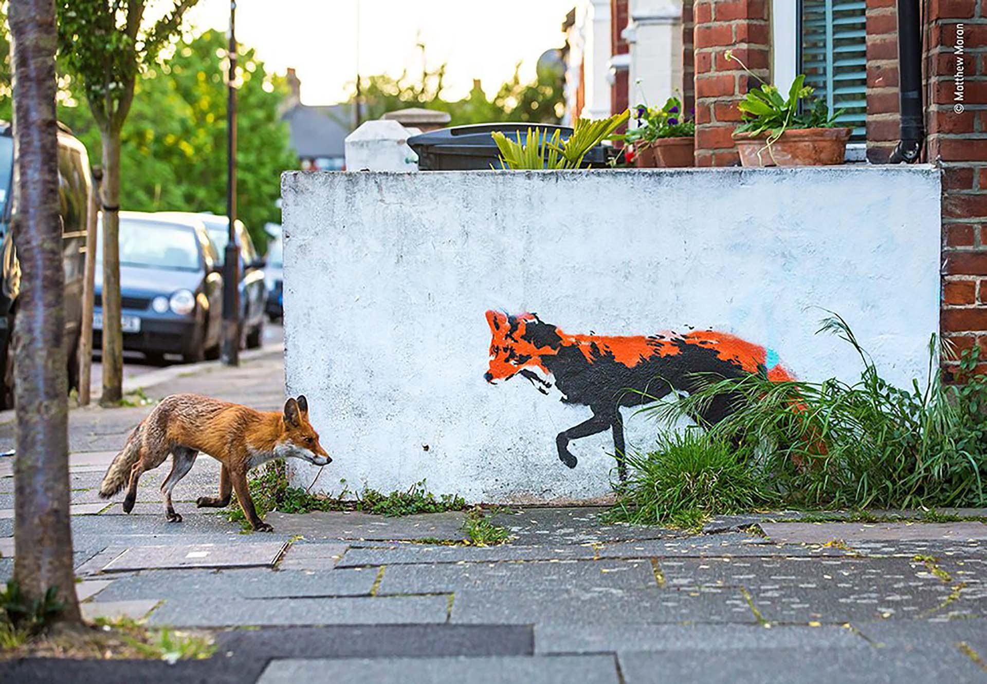 'Zorro se encuentra con zorro': Matthew Maran ha estado fotografiando zorros cerca de su hogar en el norte de Londres durante más de un año y desde entonces, al ver este arte callejero, había soñado con capturar esta imagen