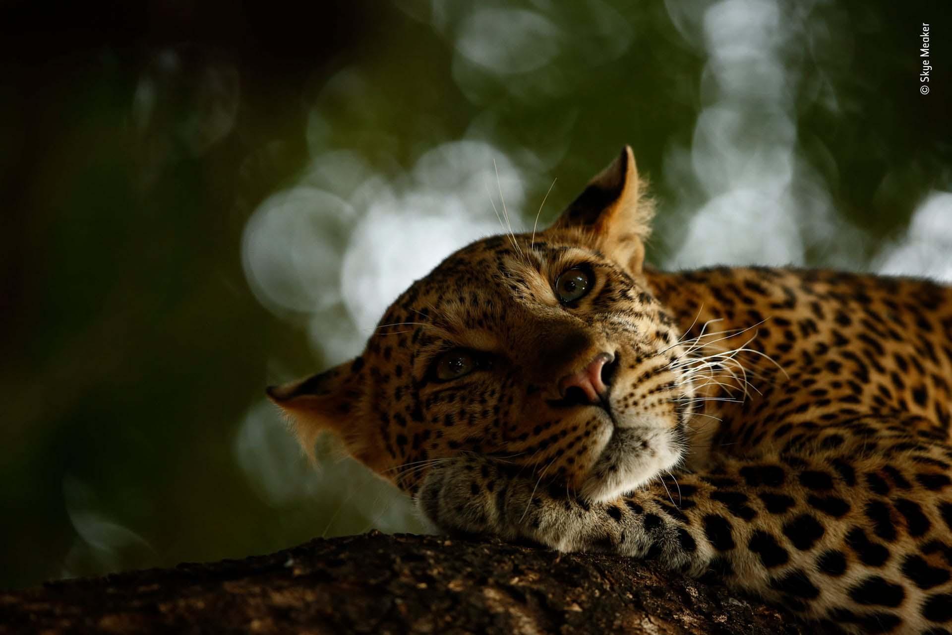 'Leopardo descansando': los leopardos de la Reserva de Caza de Mashatu son difíciles de fotografiar. Pero esta vez Skye Meaker tuvo suerte. Después de rastrear a estos felinos durante unas horas, se encontró con Mathoja, una hembra muy conocida. En un momento fugaz, justo antes de que se echara a dormir, capturó una imagen serena de esta majestuosa criatura