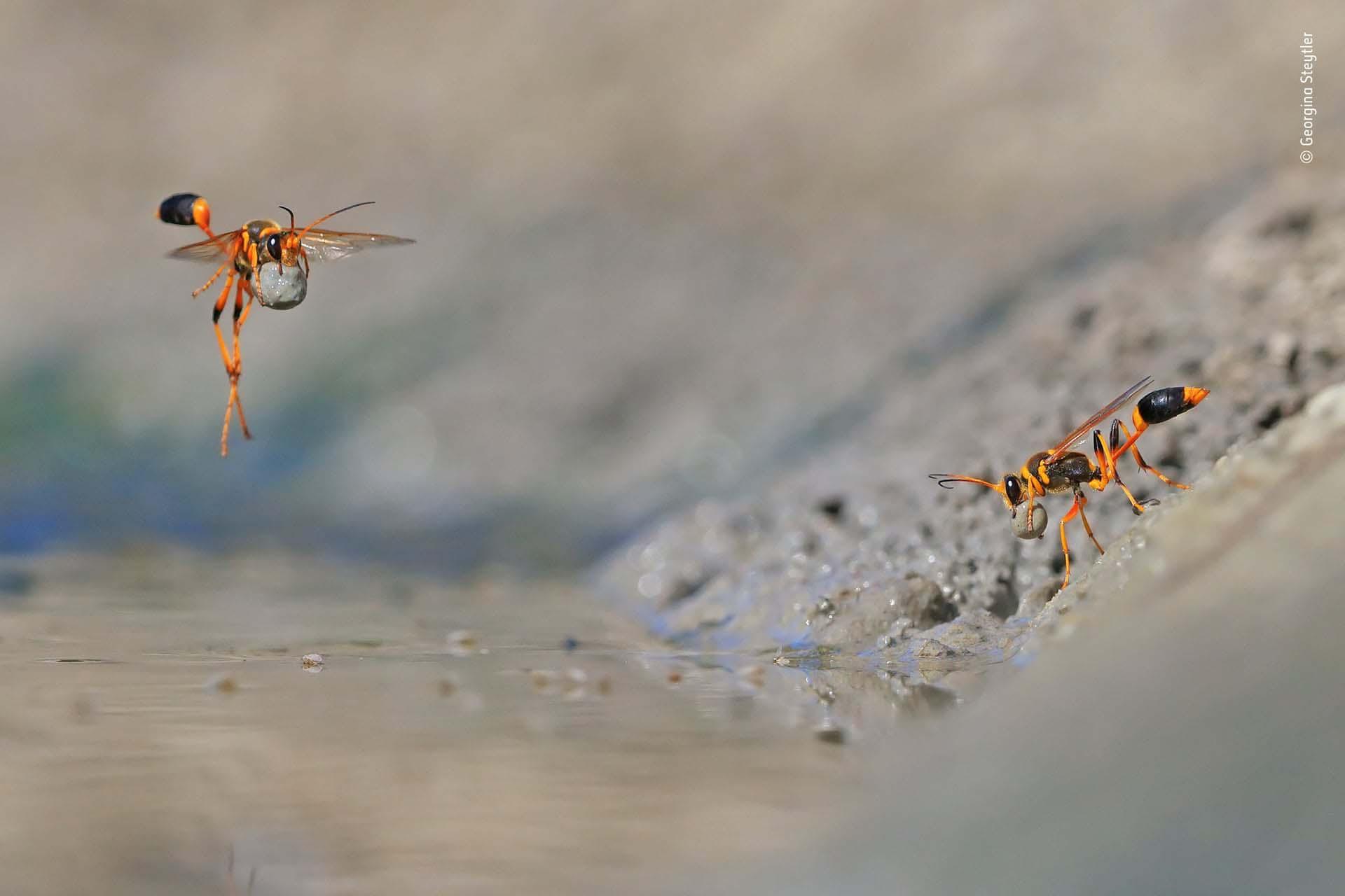 'Mud-Rolling Mud-Dauber': Georgina Steytler acudió temprano al pozo de agua para fotografiar aves, pero su atención se desvió a estas laboriosas avispas. Estaban ocupadas en la orilla del agua, enrollando el suave lodo en bolas y llevándolos a sus nidos cercanos. Para tener un buen ángulo, se tendió en el lodo, luego se concentró en una posible ruta de vuelo y comenzó a disparar continuamente