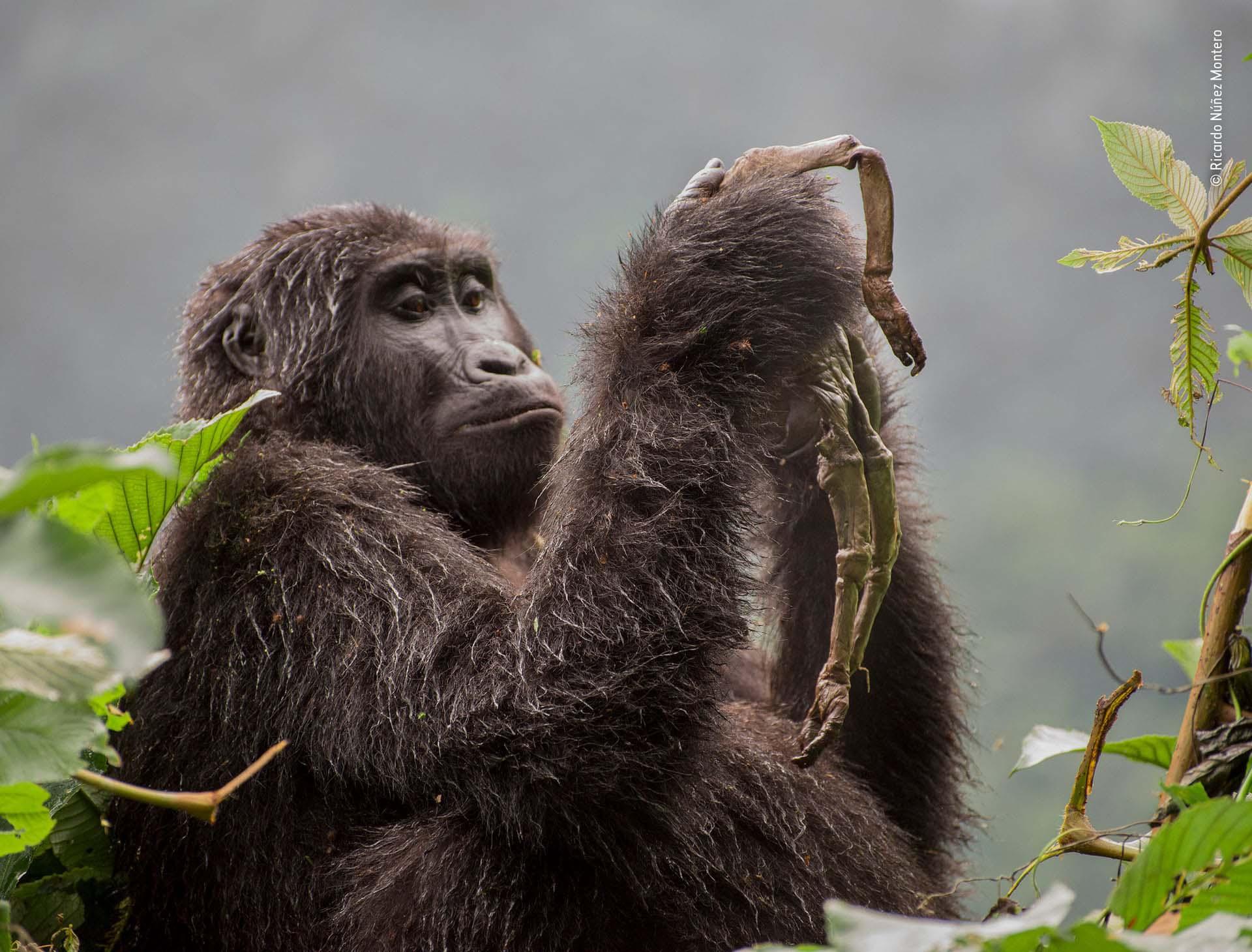 'Kuhirwa llora a su bebé': Una joven gorila de montaña, no renuncia a su bebé muerto, e inicialmente acurrucó y arregló el pequeño cadáver, llevándolo a cuestas como las otras madres. Semanas más tarde, comenzó a comer lo que quedaba de él. Forzado por la poca luz, Ricardo Núñez Montero se concentró en el cuerpo de la cría
