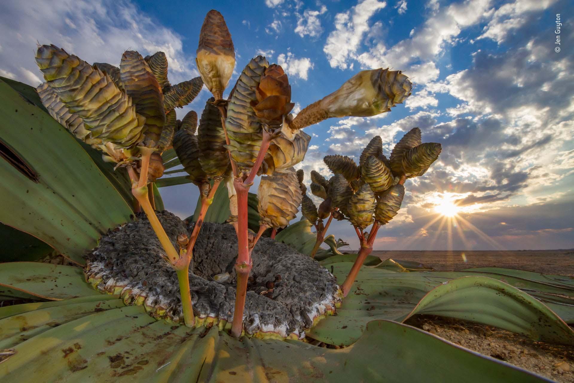 'Reliquia del desierto': Jen Guyton había caminado todo el día por el desierto de Namib buscando la planta perfecta para fotografiar antes de finalmente detectar a este sujeto de hojas irregulares. Adoptando un ángulo bajo y amplio, captó la arquitectura y los tonos vibrantes de la planta contra el paisaje justo cuando el sol se ponía