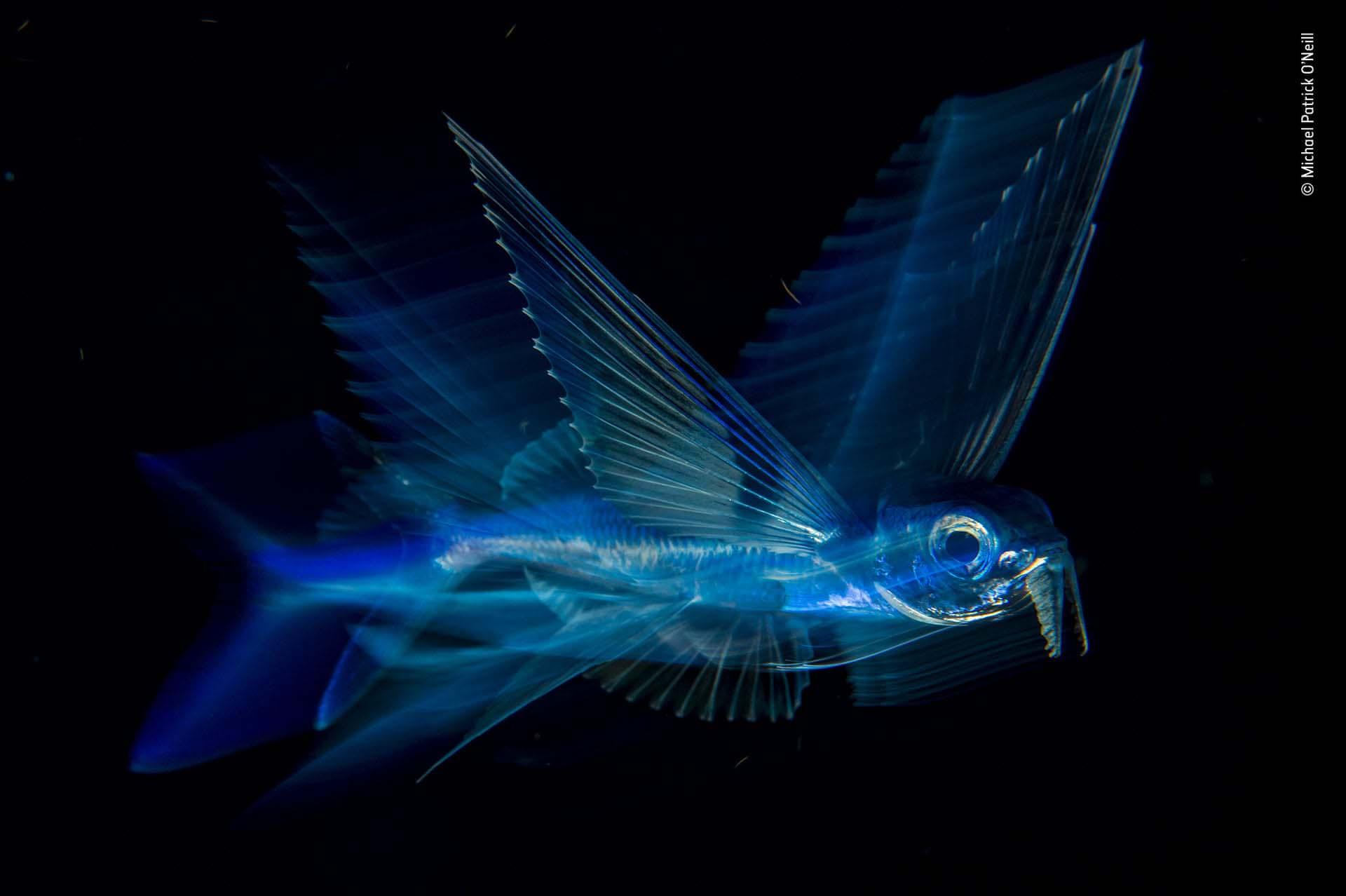 'Vuelo nocturno': Una noche, buceando en aguas profundas, Michael Patrick O´Neil seguía a un pez volador. Durante el día, se mueven extraordinariamente rápido, pero durante la noche nadan lentamente justo debajo de la superficie. Intentó varios ajustes de obturador y flash, mientras hacía un seguimiento de su pequeño sujeto