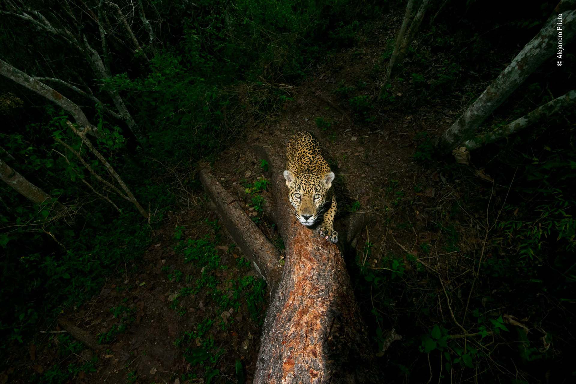 'El árbol de las firmas': En la jungla montañosa de la Sierra de Vallejo, México, un jaguar afila sus garras al rascar un árbol, dejando un olor acre. Estas marcas son una clara advertencia para los demás. El fotógrafo es Alejandro Prieto