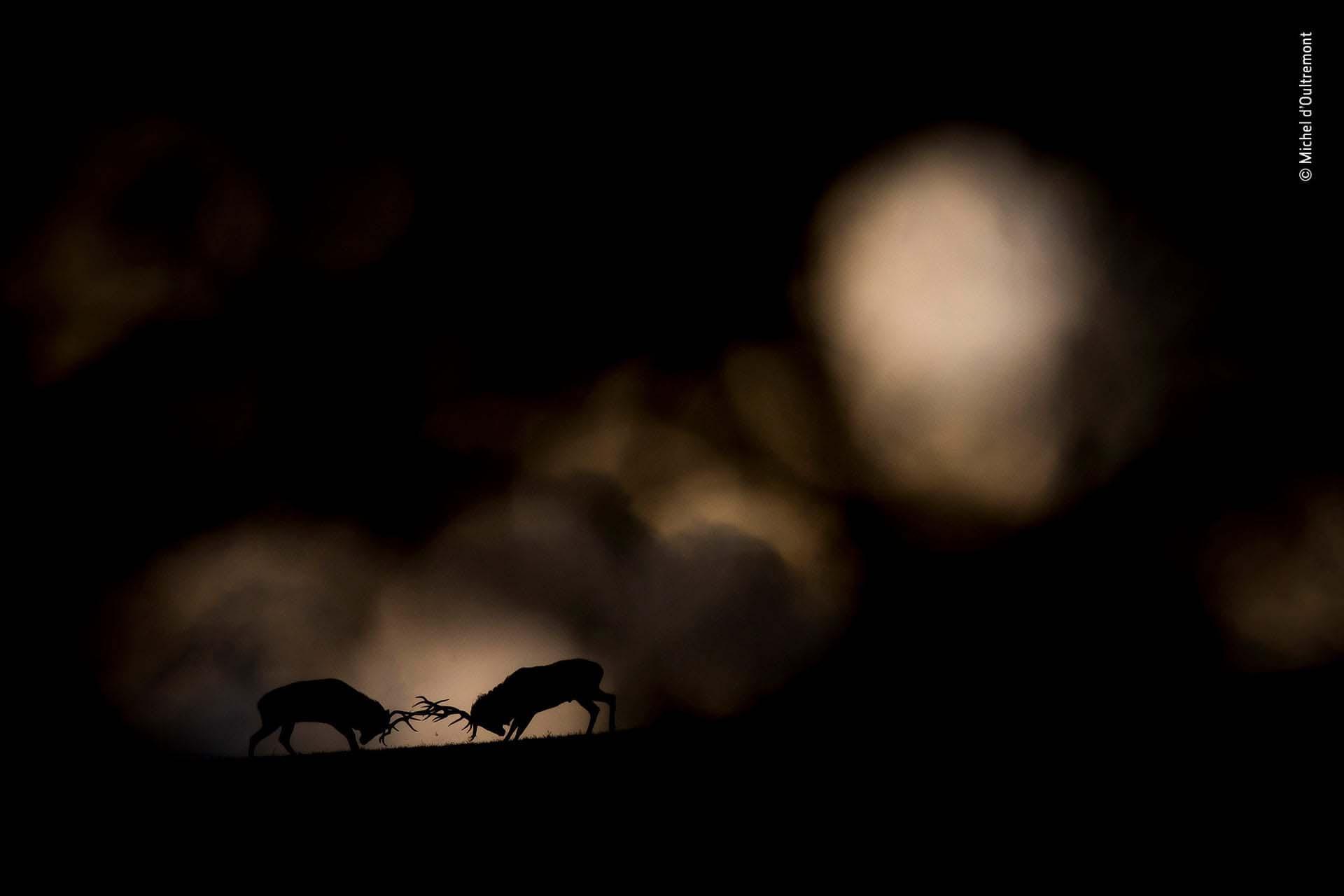 'Duelo nocturno': Michel d'Oultremont captó el momento en que las nubes de tormenta se acumularon sobre el bosque, mientras el rugido de dos ciervos que luchaban resonó entre los árboles. Escondido detrás de un árbol bajo una red de camuflaje, tuvo tiempo de capturar unas pocas imágenes antes de que los ciervos se separaran