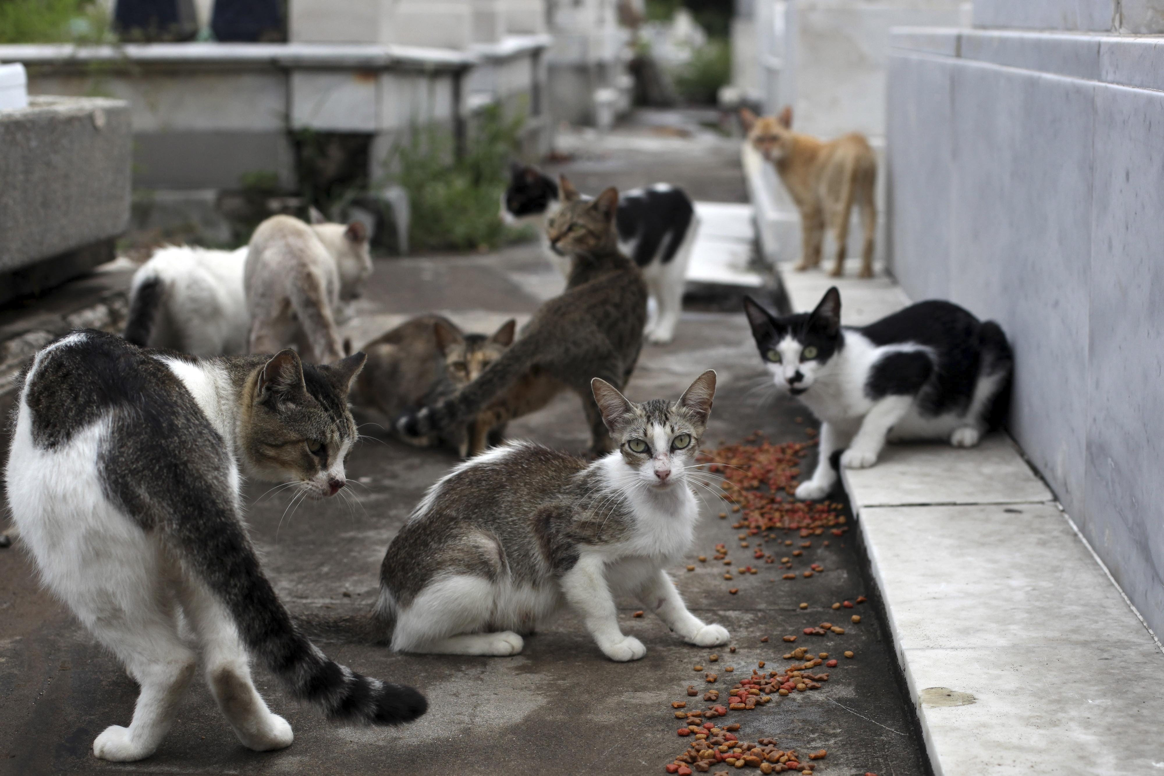 En Ciudad de México existen asociaciones que se dedican a rescatar gatos que viven en la calle (Foto: Cuartoscuro)