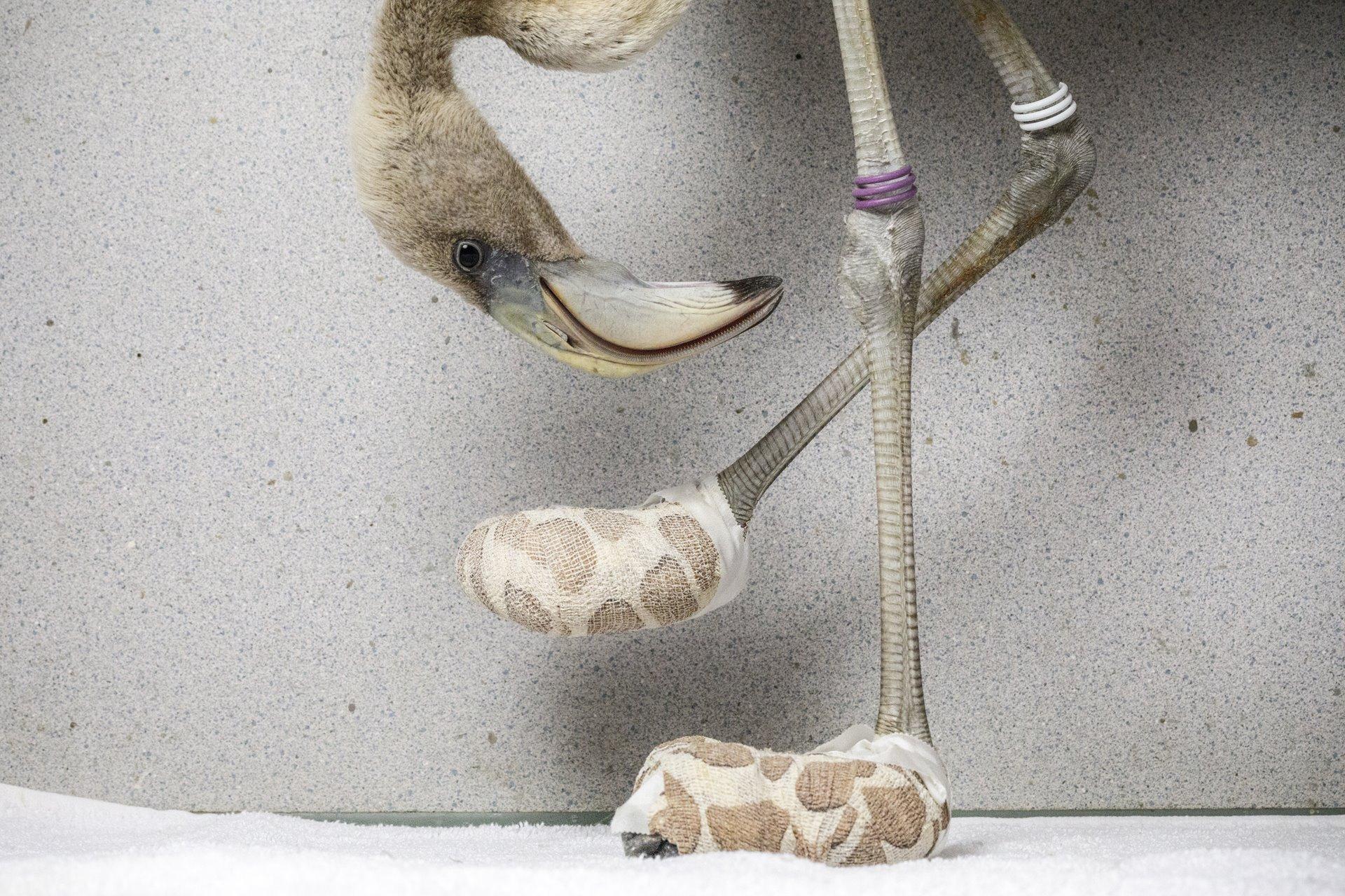 Un flamenco caribeño inspecciona los calcetines improvisados creados para ayudar a curar sus graves lesiones en los pies, en el Fundashon Dier en Onderwijs Cariben, Curazao / Foto: Jasper Doest