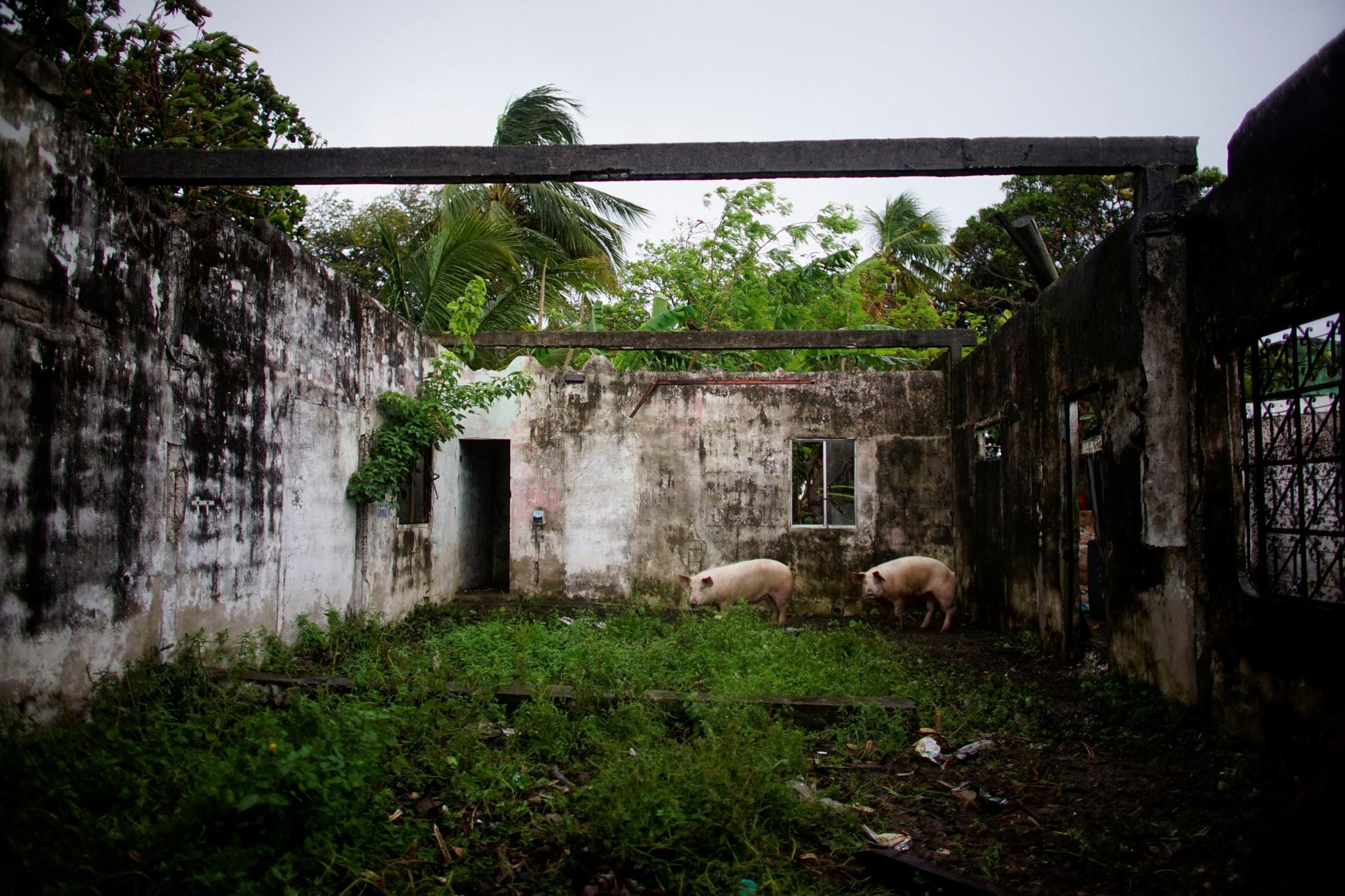 Cerdos se paran dentro de una casa destruida en Paraiso, México, 10 de diciembre de 2018.