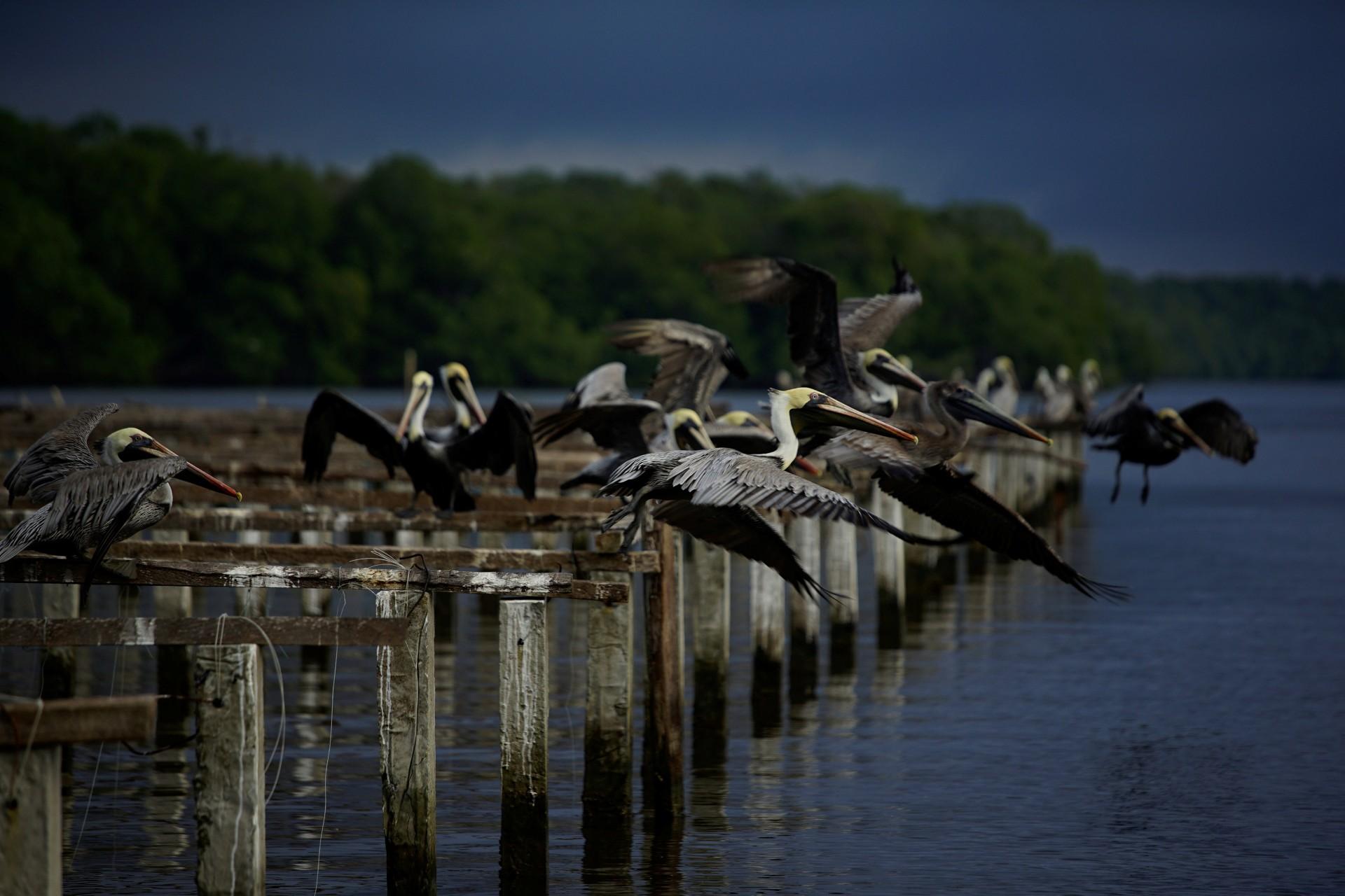 Pelícanos se reúnen en la laguna de Mecoacán, cerca de Paraiso, México, el 9 de diciembre de 2018.
