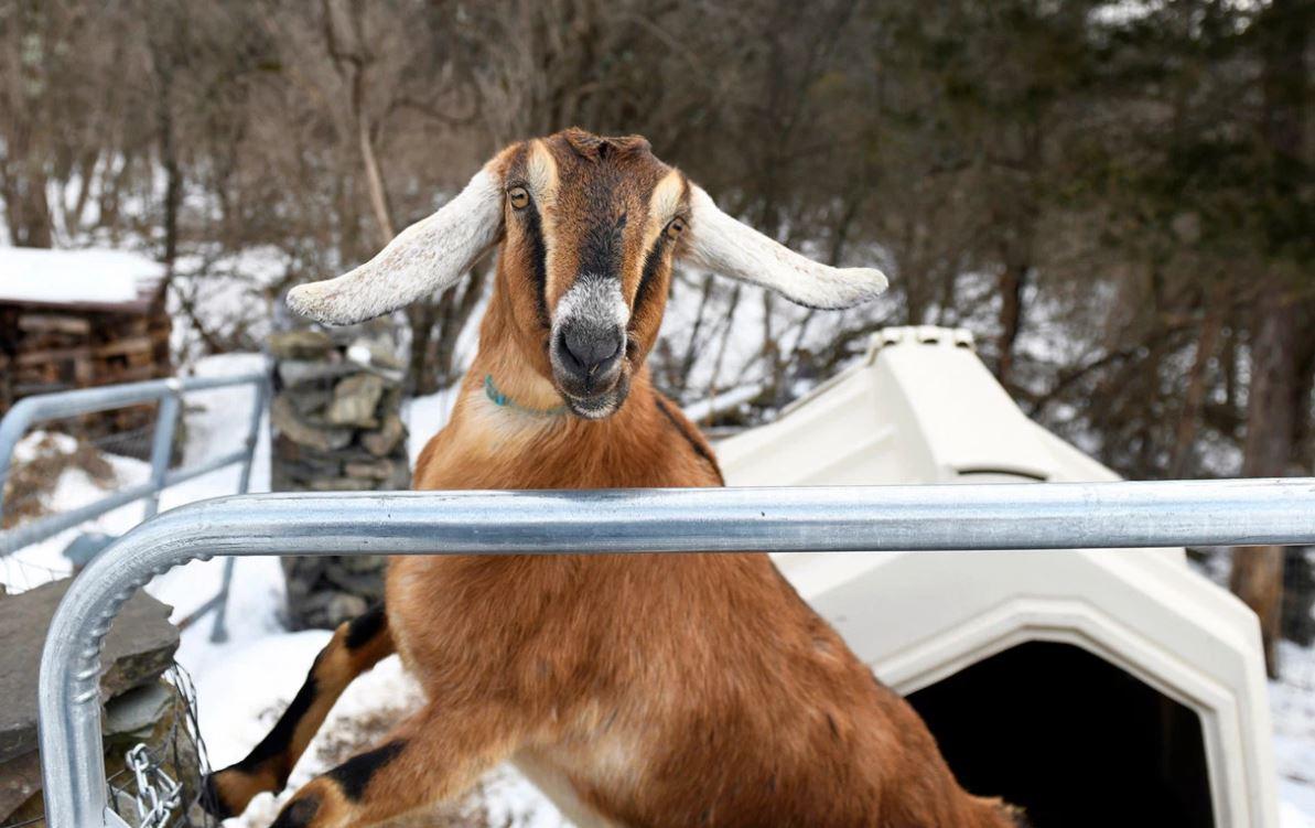 La cabra trabajó como jardinero en la casa de Stanton y ahora es una funcionaria muy famosa (Foto: AP)
