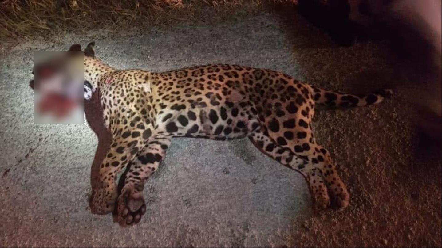 Se encontraron más de 20 perdigones que cazadores le habían disparado a la hembra jaguar, por lo que estaba gravemente herida Foto: (Twitter)