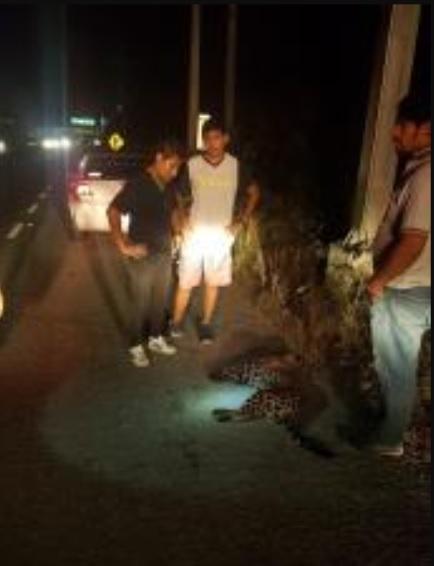 El felino fue encontrado a las 9 de la noche del domingo, ya estaba herida cuando fue atropellada Foto: Facebook