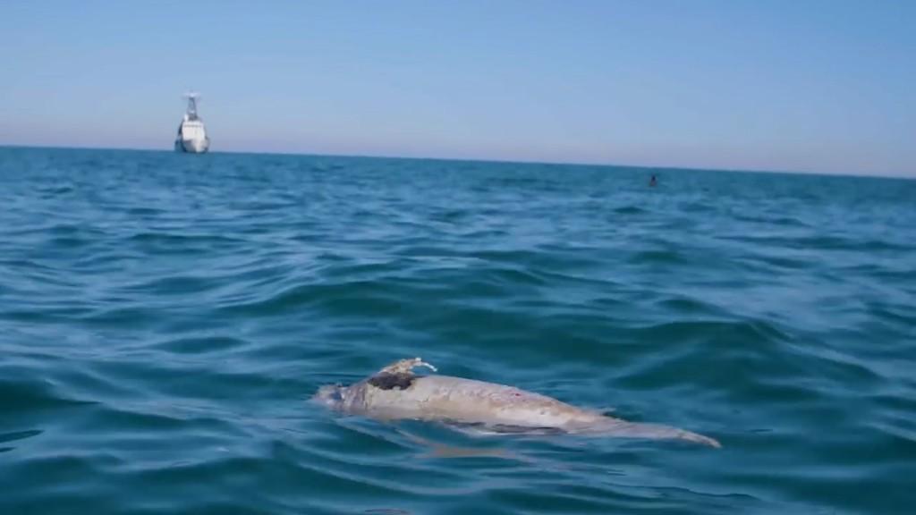 La supervivencia del animal se complica, ya que la caza ilegal de la totoaba, un manjar en China, ha contribuido a la muerte de la vaquita marina (Foto: Archivo)