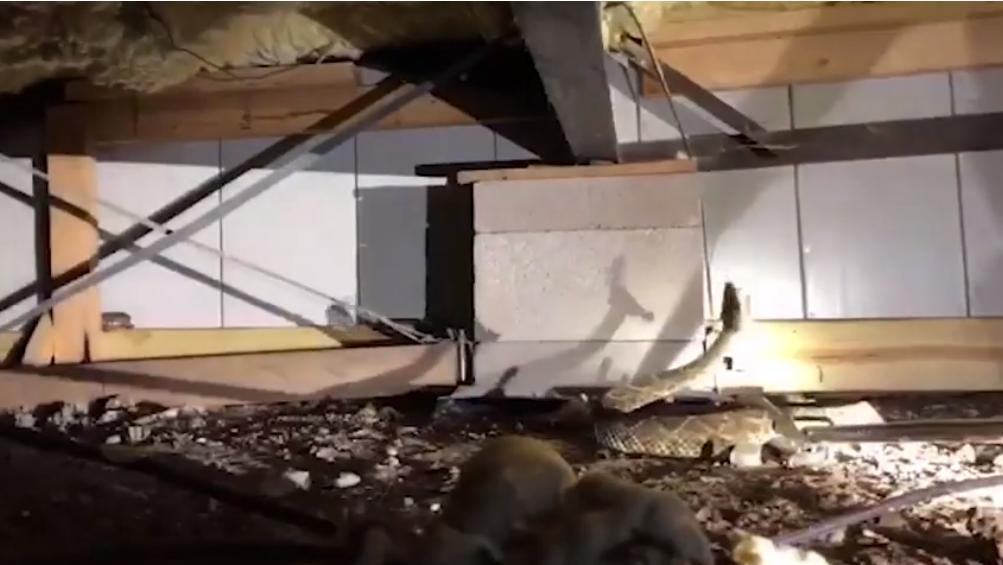 """El propietario de la vivienda se comunicó con la empresa de Hawkins para explicar que había visto """"unas pocas"""" serpientes bajo su casa. Pero cuando llegaron los expertos advirtieron que eran más que solo """"unas pocas"""" (Foto: Nathan Hawking/Big County Snake Removal)"""