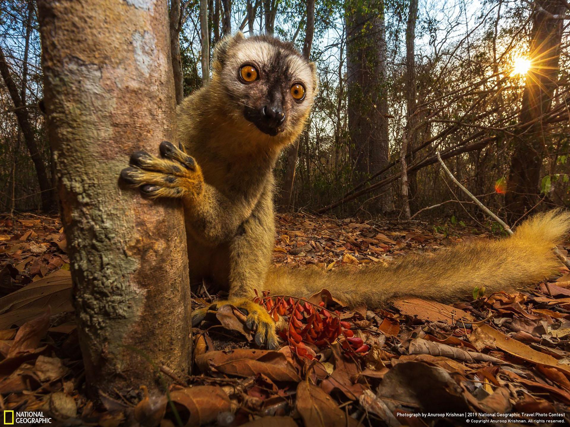 """""""Lémur marrón de frente roja, Madagascar"""", por Anuroop Krishnan: """"Aunque los lémures son endémicos de la isla de Madagascar, incluso dentro de la isla existen diversos hábitats que albergan varias especies de lémures. El lémur marrón de frente roja se encuentra en la parte suroeste de la isla, en sus bosques secos de tierras bajas. Se alimenta principalmente de frutos, hojas y flores, dejando a menudo la comodidad de los árboles para buscar semillas"""". (""""Red Fronted Brown Lemur, Madagascar"""" / 2019 National Geographic Travel Photo Contest / Categoría:Gente)"""
