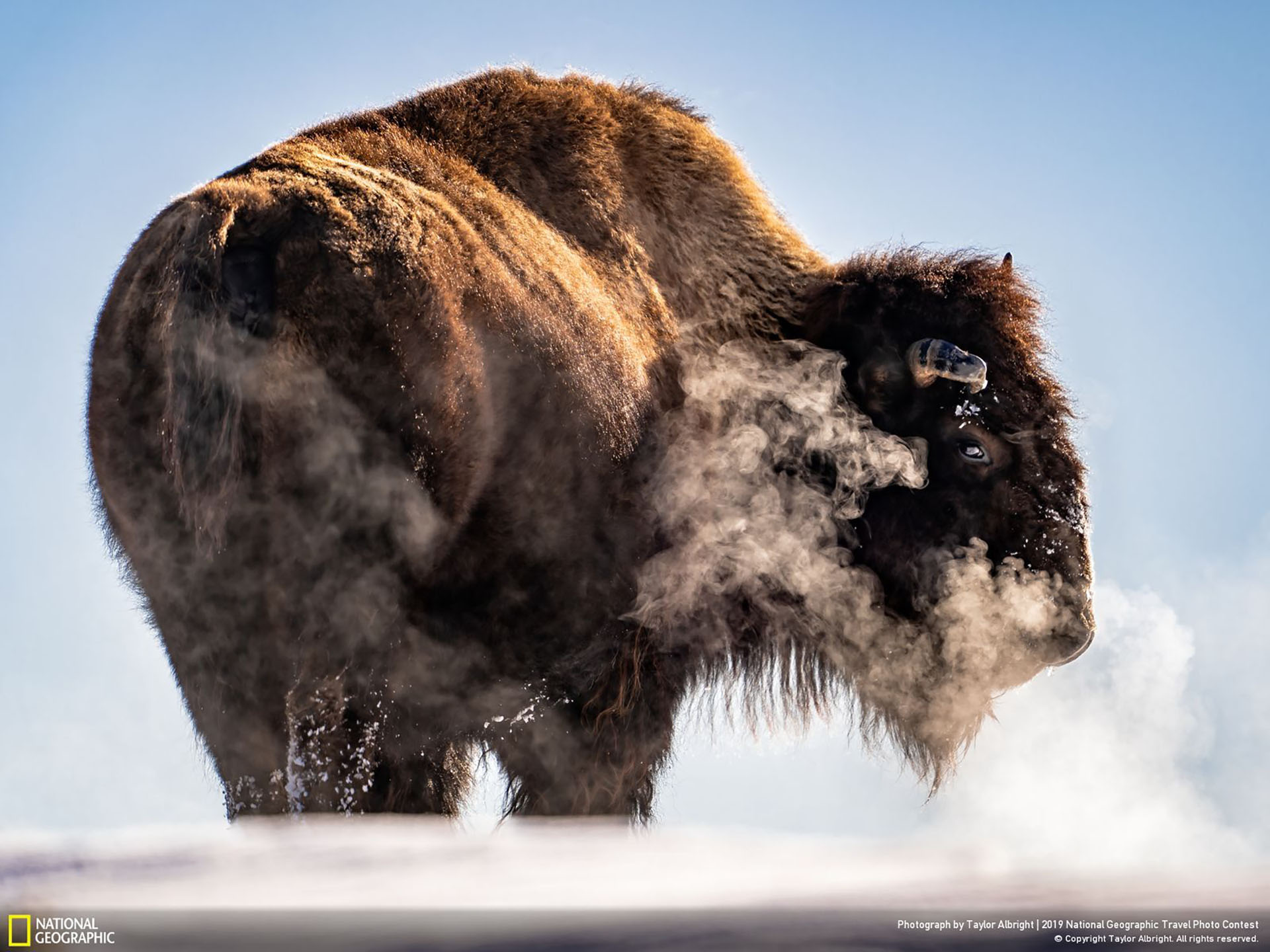 """""""Agotado"""", por Taylor Albright: """"Los días son mucho más cortos en invierno y las diferentes elevaciones dentro del Parque Nacional de Yellowstone inician incluso puestas de sol más tempranas. Con la noche acercándose y las temperaturas bajando, una manada de bisontes subió y atravesó una colina helada en busca de su próxima comida. Mientras veía al grupo desaparecer de la vista, el último bisonte de la fila se detuvo, dio la vuelta hacia mí, respiró y exhaló creando una espesa nube de vapor antes de continuar sobre la colina y perderse de vista junto con los demás"""". (""""Exhausted"""" / 2019 National Geographic Travel Photo Contest / Categoría: Naturaleza)"""