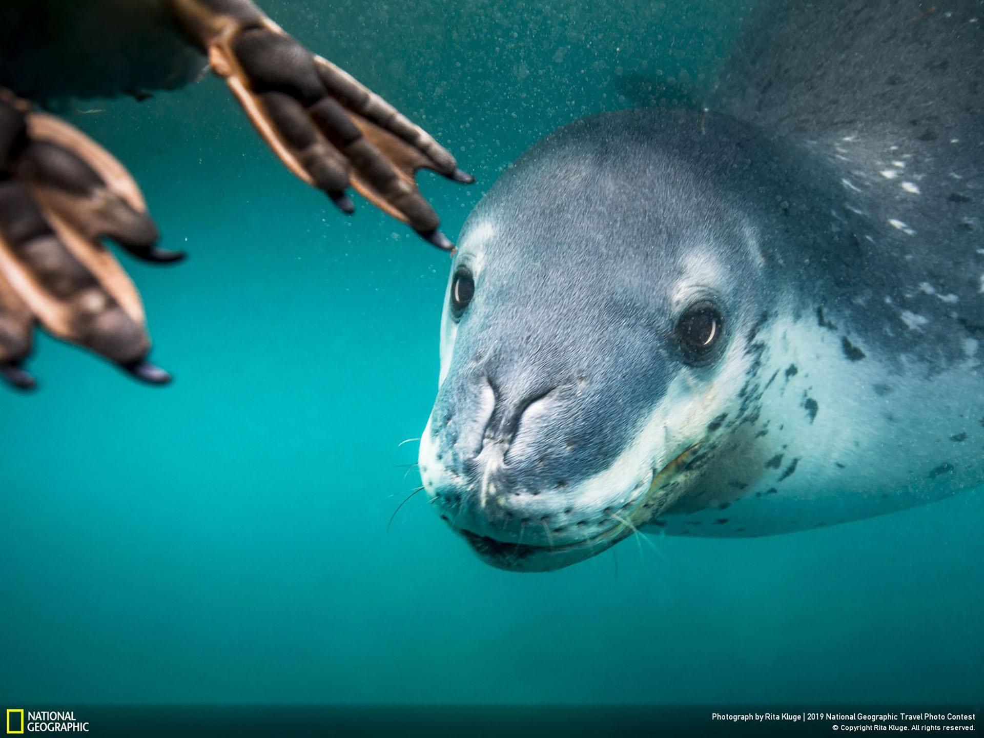"""""""¿Qué pasará después?"""", por Rita Kluge: """"En mi último día en la Antártida, estaba publicando mi última actualización de video, escuché lo que estaba esperando y documenté lo que estaba por venir. Una foca leopardo se alimentaba de un pingüino…. Yo llevaba un traje de buceo a pulmón de 7 mm para ser más flexible y poder cambiar de posición rápidamente. Un encuentro normal sería de unos 20 minutos y no tendría mucho frío después, pero este día fue diferente, ya que nadamos con tres focas leopardo diferentes-brrrr. Me sentí seguro al estar tan cerca de la acción con mi equipo. Simplemente increíble"""". (""""What will happen next?"""" / 2019 National Geographic Travel Photo Contest / Categoría: Naturaleza / Ubicación: Cerro Nevado, Antártida)"""