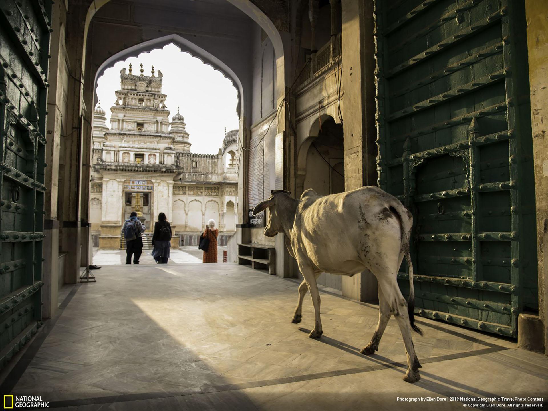 """""""Ingresando al templo"""", por Ellen Dore: """"Vacas como esta en Pushkar, India, tienen rienda suelta para vagar como les plazca. Al acercarse a la entrada de un templo en Pushkar, dedicado a Vishnu, la gente abrió paso para que la vaca entrara"""". (""""Entering the Temple"""" / 2019 National Geographic Travel Photo Contest / Categoría: Ciudades / Ubicación: Pushkar, Rajasthan, India)"""