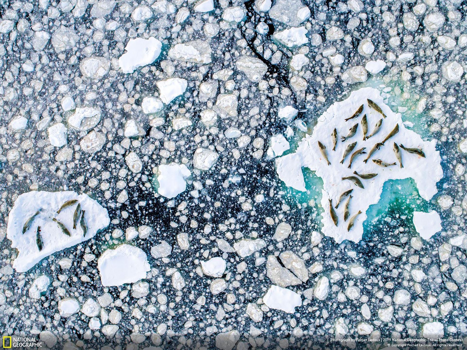 """""""El derretimiento de un lecho de hielo"""", por Florian Ledoux: """"Vista aérea de las focas cangrejeras, mientras descansan en el hielo roto de la Península de la Antártida en diciembre. Los estudios han demostrado que tienen un patrón general de alimentación desde la salida del sol hasta el amanecer y descansar en el medio del día. Sus patrones cambian con la estación. Las focas cangrejeras usan mucho del hielo para descansar entre inmersiones, a medida que el hielo se derrite más y más, su futuro podría no ser tan prometedor a pesar de la gran cantidad de animales que hay"""". (""""Meltign Bed of Ice"""" / 2019 National Geographic Travel Photo Contest / Categoría: Naturaleza)"""