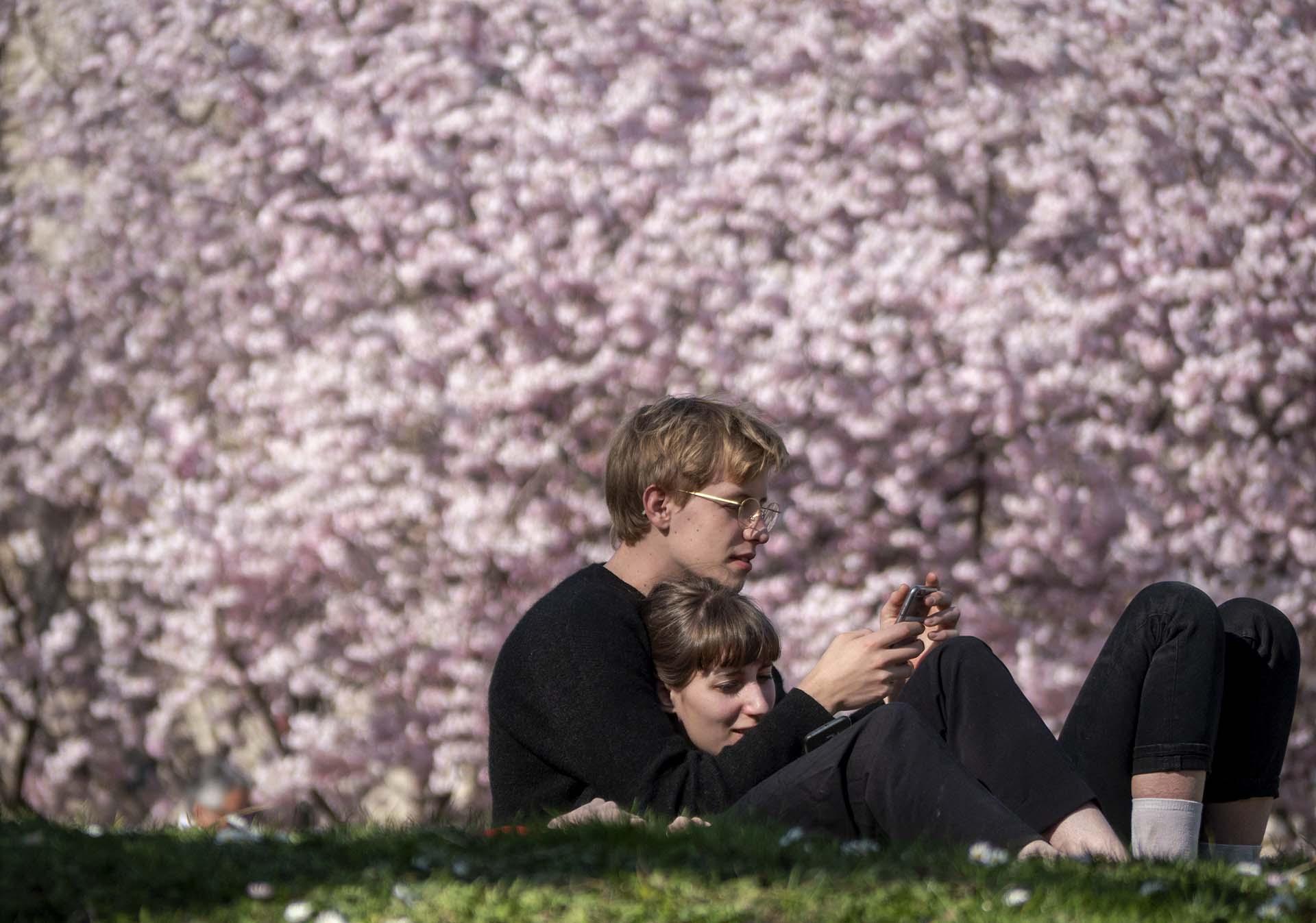 Arbol De Cerezo Japones la primavera viste de flores al hemisferio norte - infobae