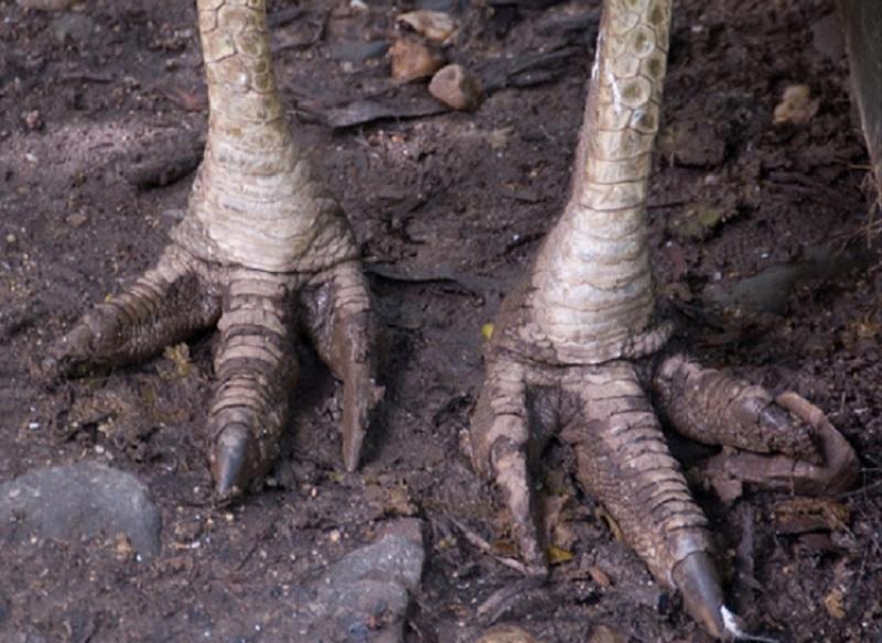 Las uñas que poseen en sus pies parecen dagas y son muy peligrosas (Foto: especial)
